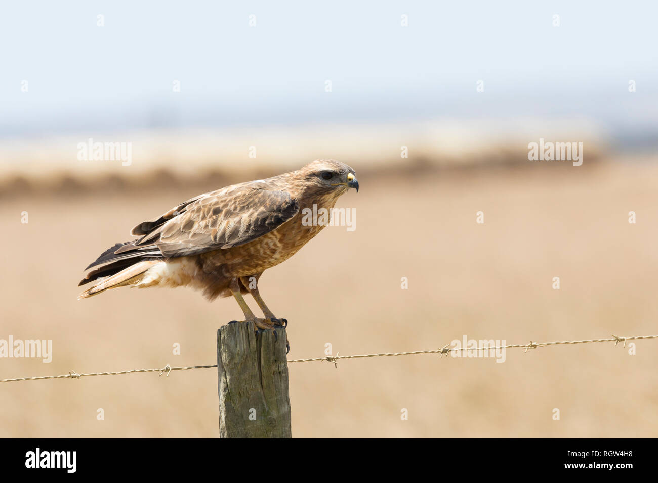 Common Buzzard or Steppe Buzzard, Buteo buteo vulpinus, on a fence post  on farmland in Western Cape,  South Africa. Common migratory summer visitor - Stock Image
