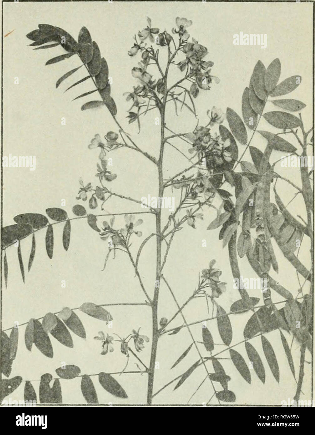 . Bulletin. 1901-13. Agriculture; Agriculture. PLANTS FURNISHING MEDICINAL LEAVES AND HEKI5S. 13 AMERICAN SENXA. Cassia marilandica Jj. Synonijm.—Senna marilandiai Link. Other common names.—Wild senna, locust plant. Habitat and range.—American senna generally frequents wet or swampy soils from New England to North Carolina and westward to Louisiana and Nebraska. Description.—This is a native species, a member of the senna family (Csesalpini- acese), which is closely related to the pea family. It is a perennial herb, its round grooved stems reaching about 4 to 6 feet in height. The loaves, whic - Stock Image