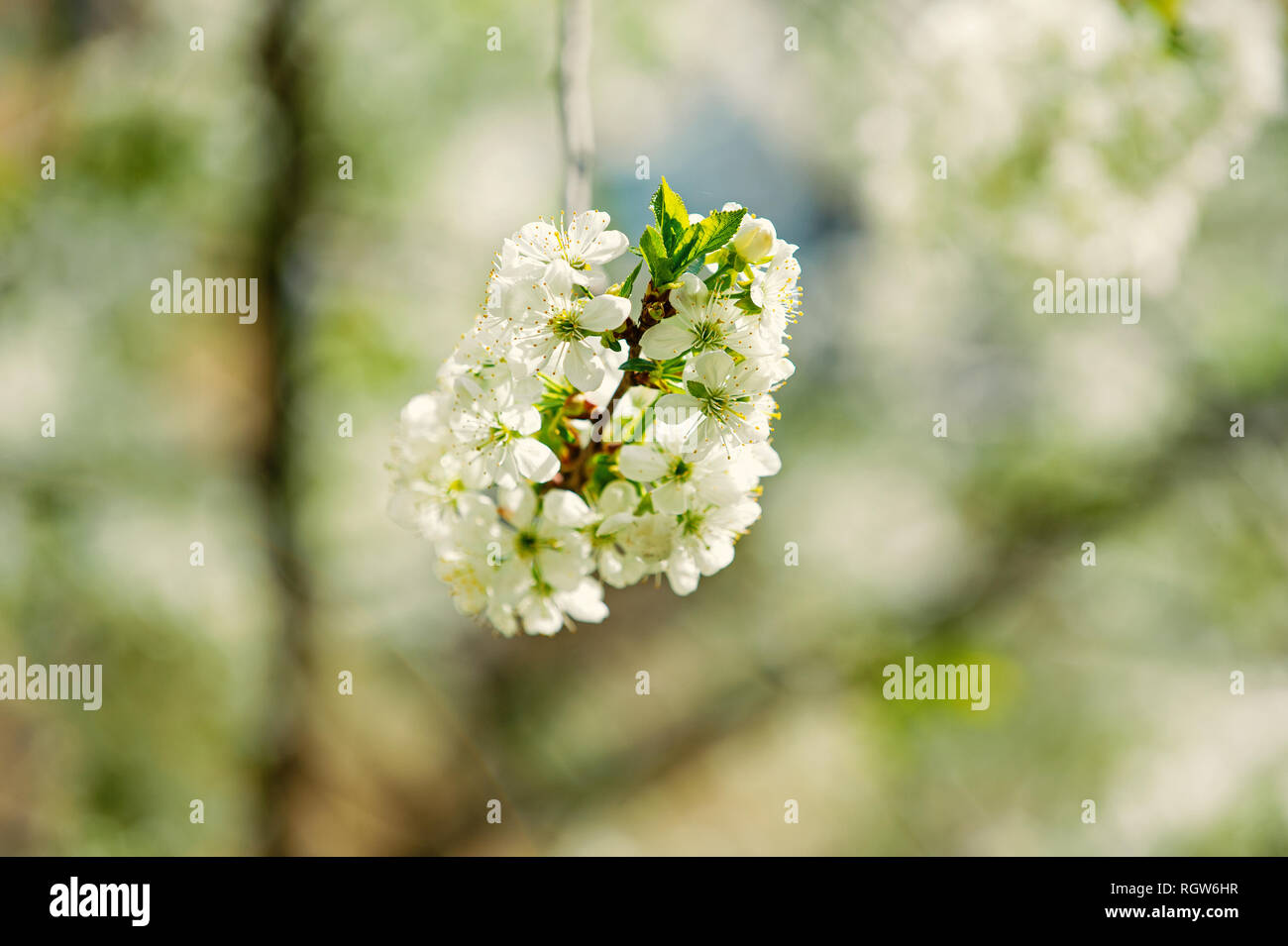 Blossoming cherry branch with white flowers on blurred background. Spring season concept. Blossom, bloom, flowering. New life awakening. Nature, beauty, environment. - Stock Image