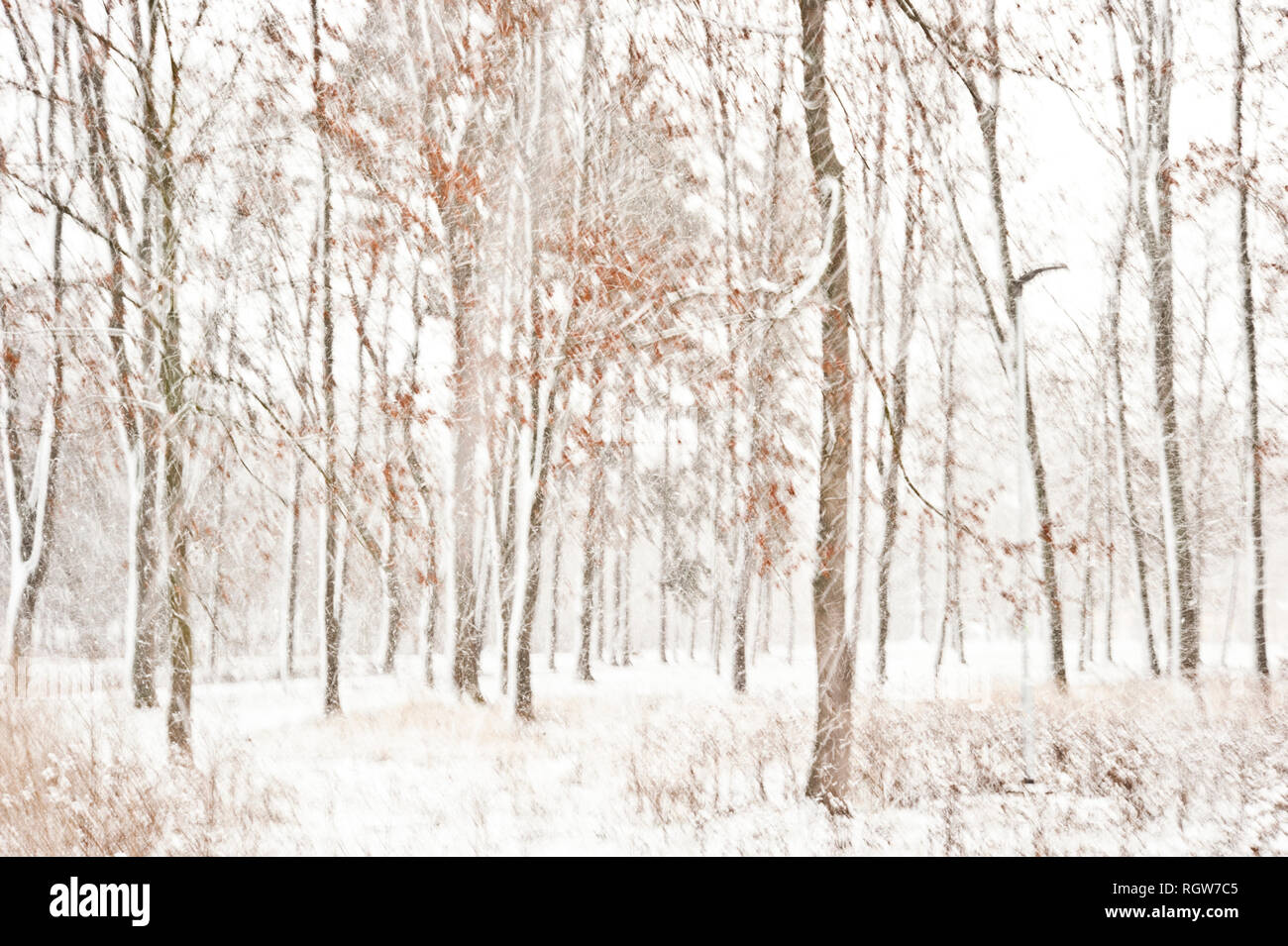 heavy snowing in the woods - Stock Image