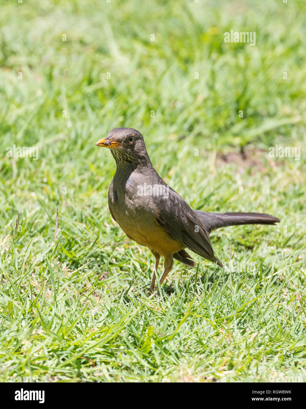 Olive Thrush(Turdus olivaceus) foraging on grass for earthworms. Remnant of worm in beak. Summer, Western Cape, South Africa, Stock Photo