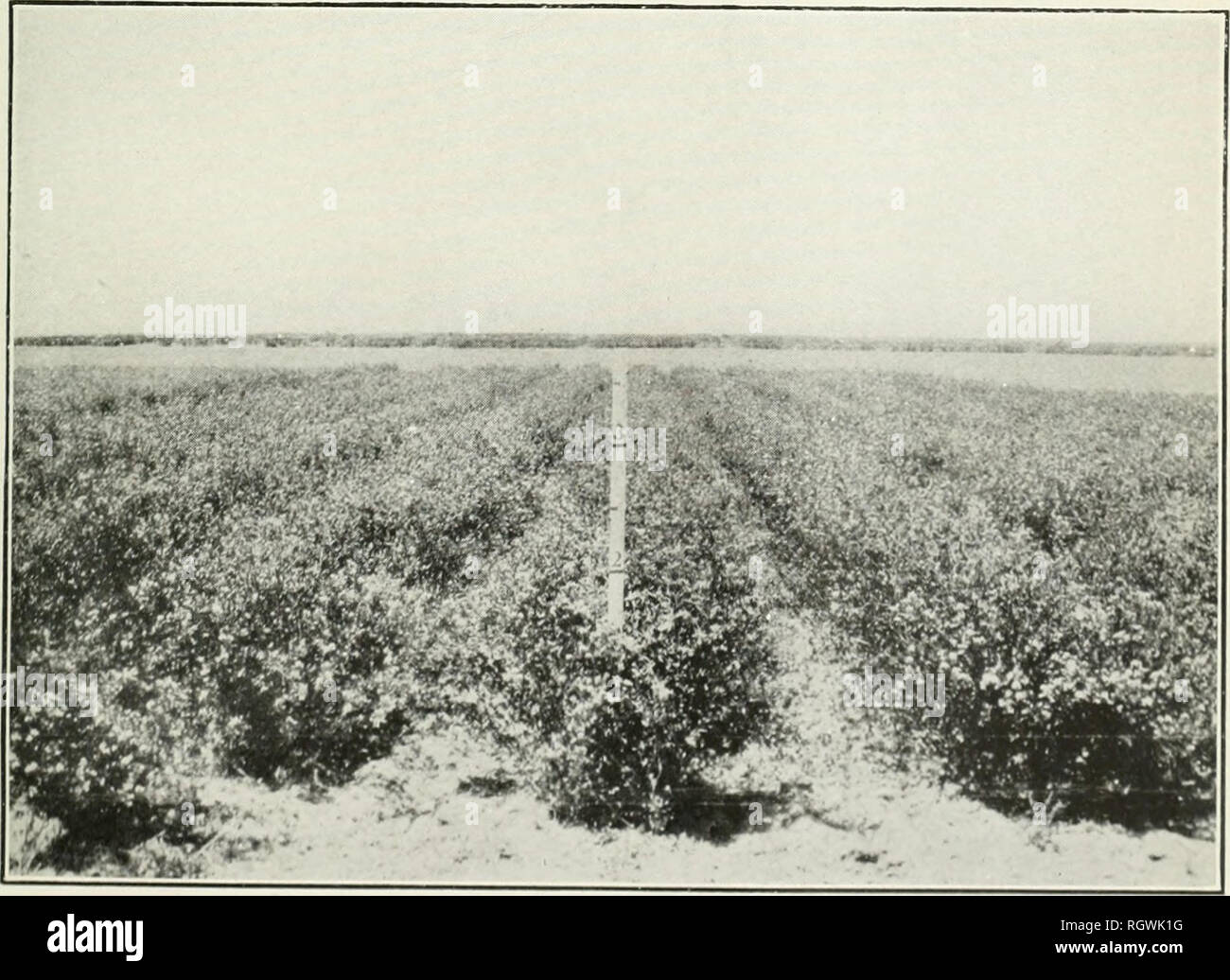 . Bulletin. 1901-13. Agriculture; Agriculture. Fig. 1.—Alfalfa Plants in the Breeding Nursery, Showing the First Season's Growth.. Fig. 2.—Selected Strains of Alfalfa in Double-Cultivated Rows. ALFALFA BREEDING AT THE BELLEFOURCHE EXPERIMENT FARM, SOUTH DAKOTA.. Please note that these images are extracted from scanned page images that may have been digitally enhanced for readability - coloration and appearance of these illustrations may not perfectly resemble the original work.. United States. Bureau of Plant Industry, Soils, and Agricultural Engineering. Washington Govt. Print. Off - Stock Image