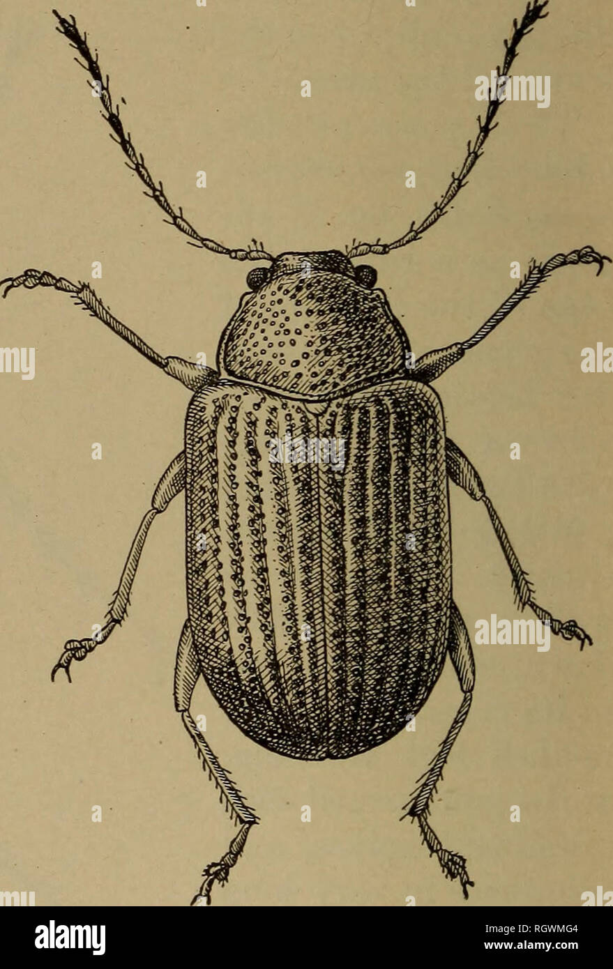 . Bulletin. Insects; Insect pests; Entomology; Insects; Insect pests; Entomology. Fig. 6.—The redheaded Systena (Systena fron- Fig. 7.—The grapevine Colaspis (Colaspis hrunnea): talis): Adult or beetle. Much enlarged. Adult or beetle. Much enlarged. (Original.) (Original.) wing covers the deep punctures are arranged in double longitudinal rows or striae. The beetle feeds upon the grape foliage in a manner more or less similar to that of the grape root-worm beetle. It is not within the scope of this paper to treat the various insect problems, such as those of the grape leafhopper {TypJilocyha c - Stock Image