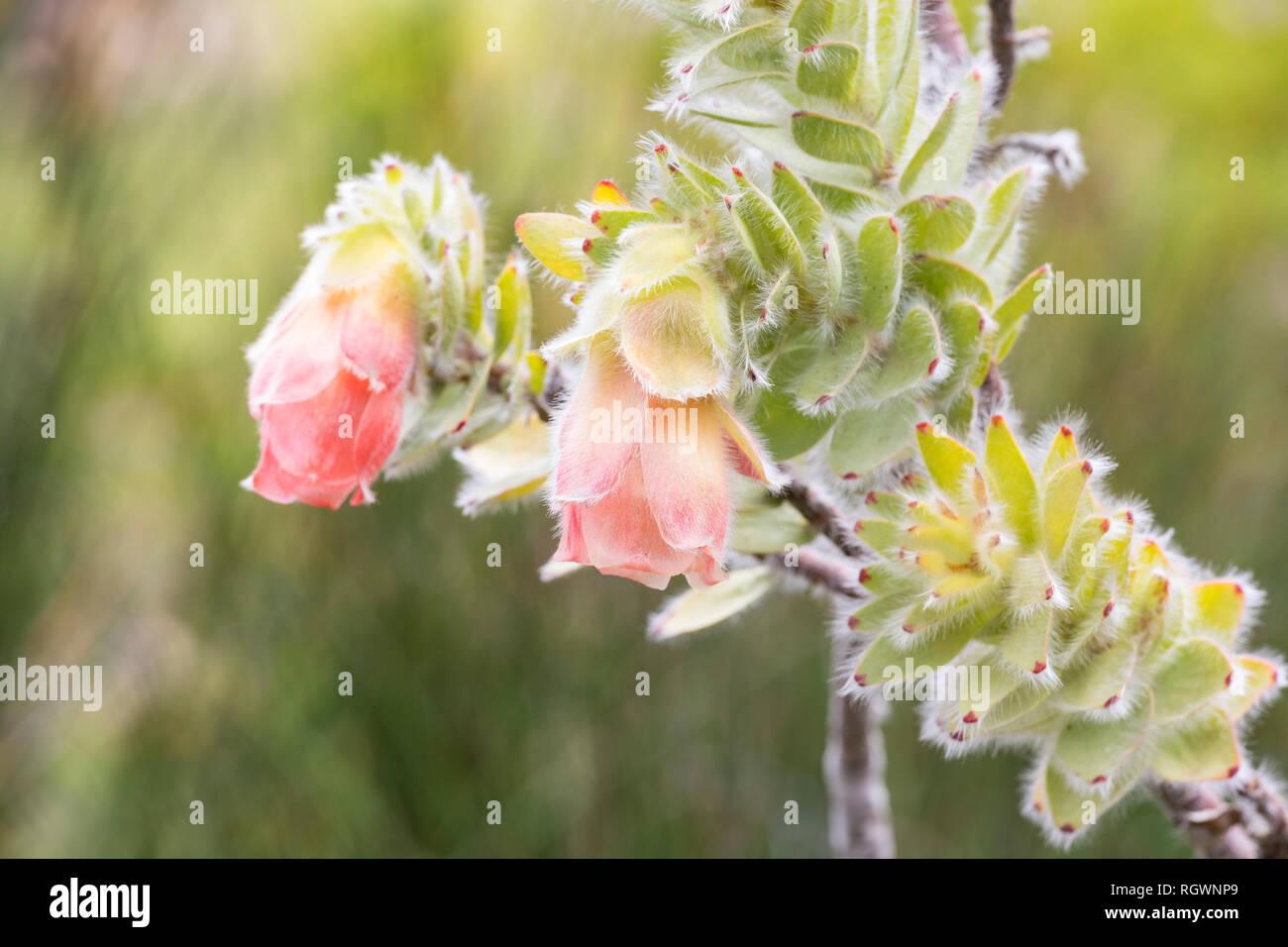 Rare Marsh Rose, Orothamnus zeyheri, a vulnerable mountain fynbos species under threat of extinction Kirstenbosch Botanical Gardens , Cape Town, Weste - Stock Image