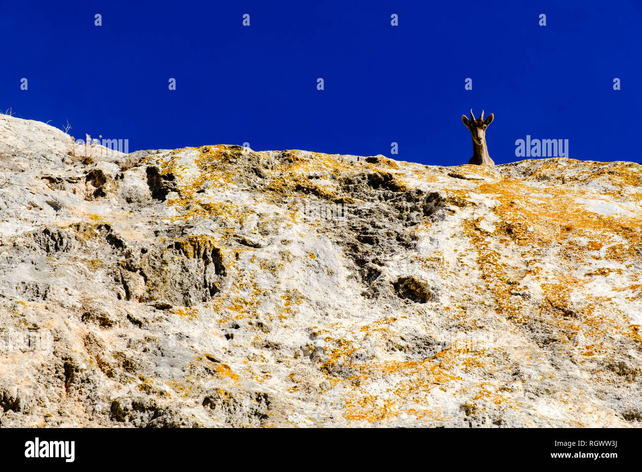An ibex watches on the rocks overlooking a pathway in the mountain top village of Comares, Axarquia, Malaga, Andalucia, Spain. 28th January 2019 - Stock Image