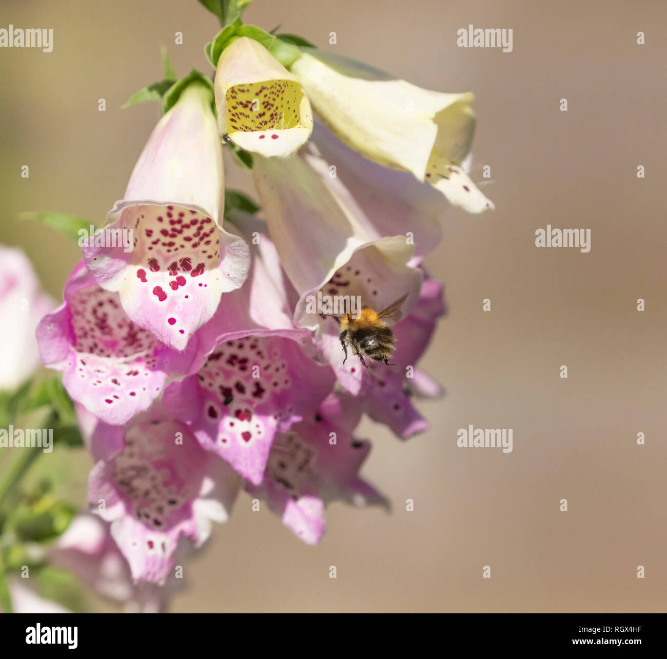 A bumble bee (bombus pascuorum) on a foxglove plant collecting nectar and pollen. Stock Photo