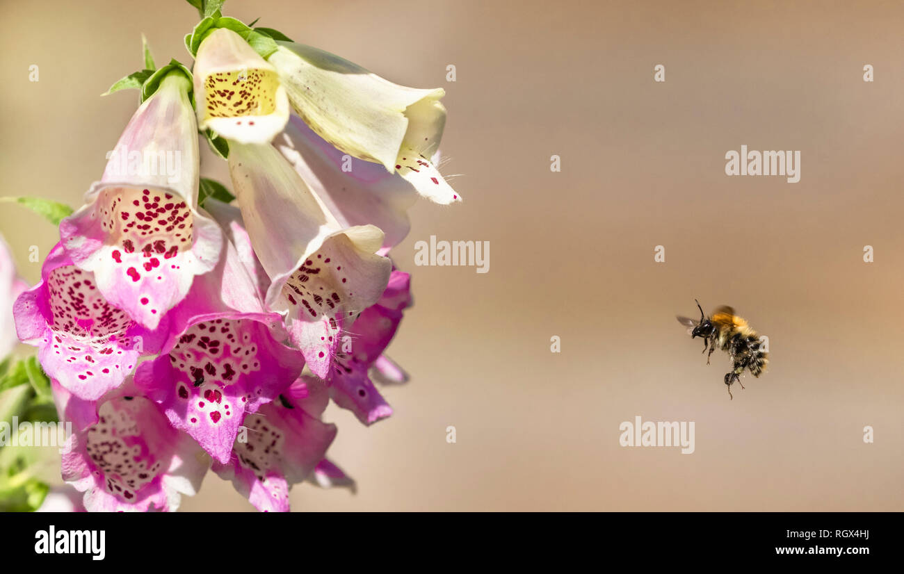 A bumble bee in flying towards a foxglove flower. Stock Photo