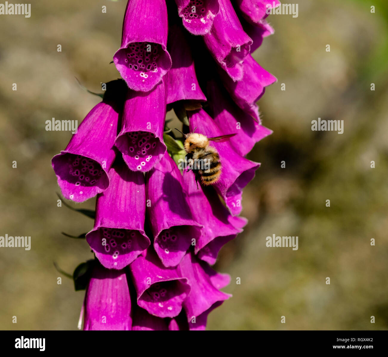 A bumble bee (bombus pascuorum) collecting pollen and nectar from a purple foxglove (digitalis). Stock Photo