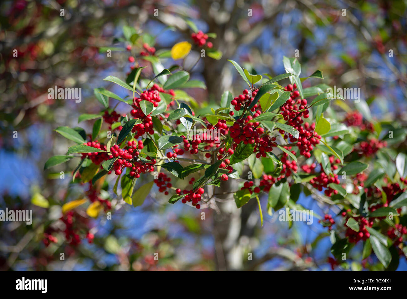 Small Red Berries Growing On A Bush In Nature Stock Photo