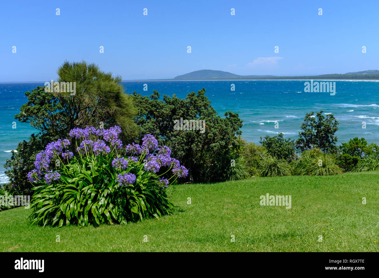 A blue flower Agapanthus (Lily of the Nile) plant blooming on the coast of NSW, Australia, this is a non native species that has become a naturalised  - Stock Image