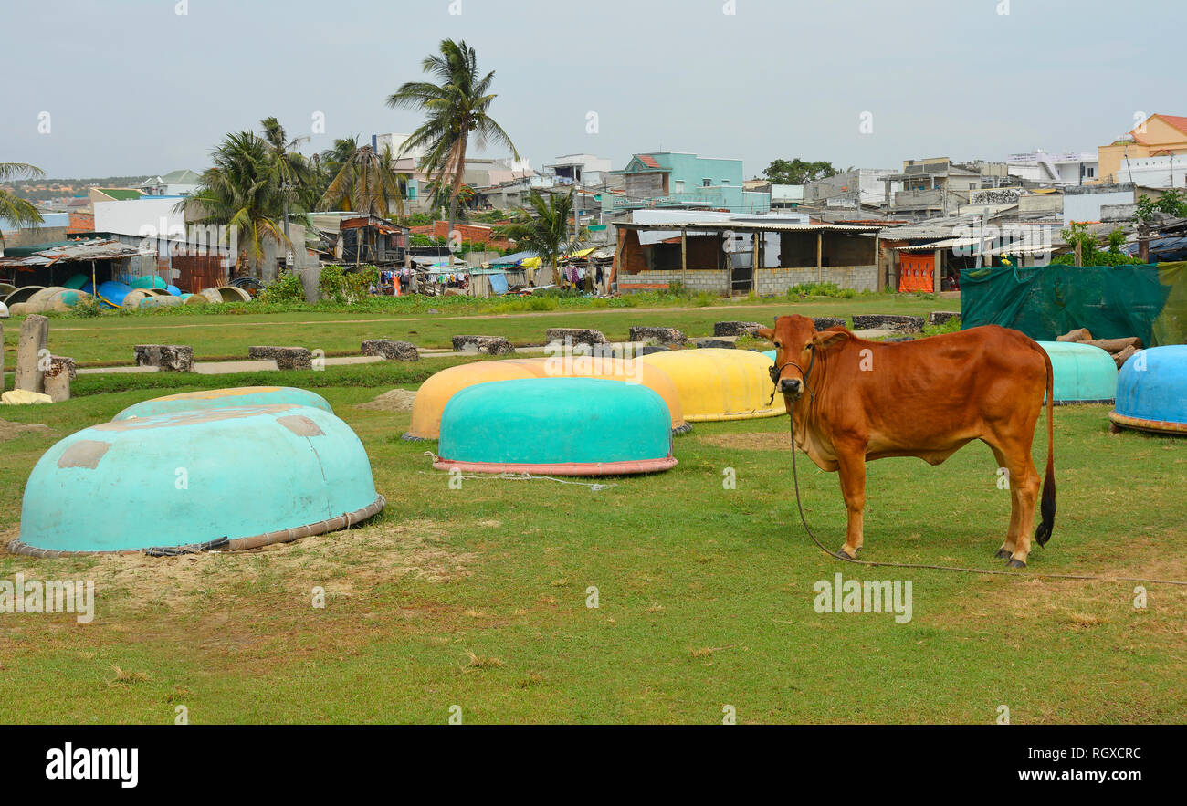 A cow tethered next to some traditional round fishing boats at Mui Ne Fishing Village, Vietnam - Stock Image