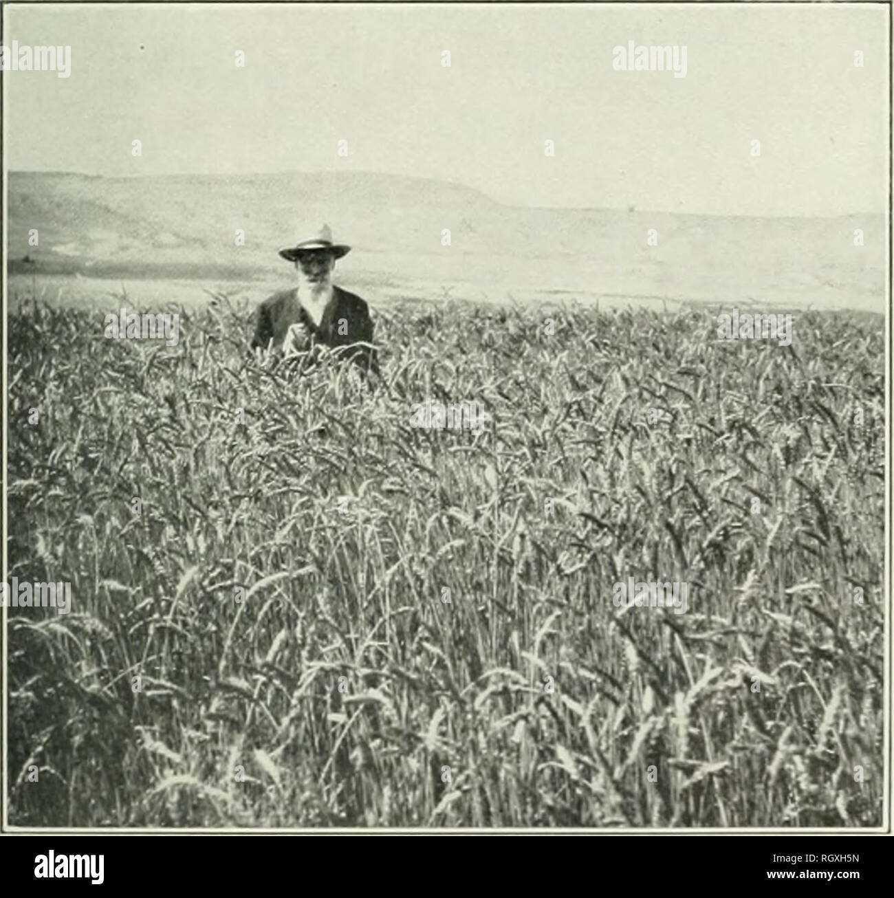 . Bulletin. 1901-13. Agriculture; Agriculture. hi . 1. A Poor Crop of w-i â . i â -n Farm, Utah s[ . ( n glujnty Arid. Fig. 2.âa Crop of Wheat Grown Without Irrigation in the Cache Valley, Utah.. Please note that these images are extracted from scanned page images that may have been digitally enhanced for readability - coloration and appearance of these illustrations may not perfectly resemble the original work.. United States. Bureau of Plant Industry, Soils, and Agricultural Engineering. Washington Govt. Print. Off - Stock Image