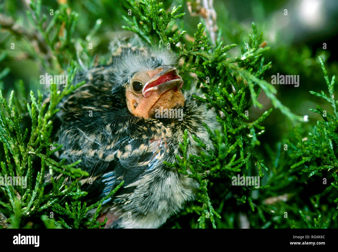 Fuzzy cute fledgling baby redwing blackbird on evergreen branch with mouth open, Midwest USA - Stock Image