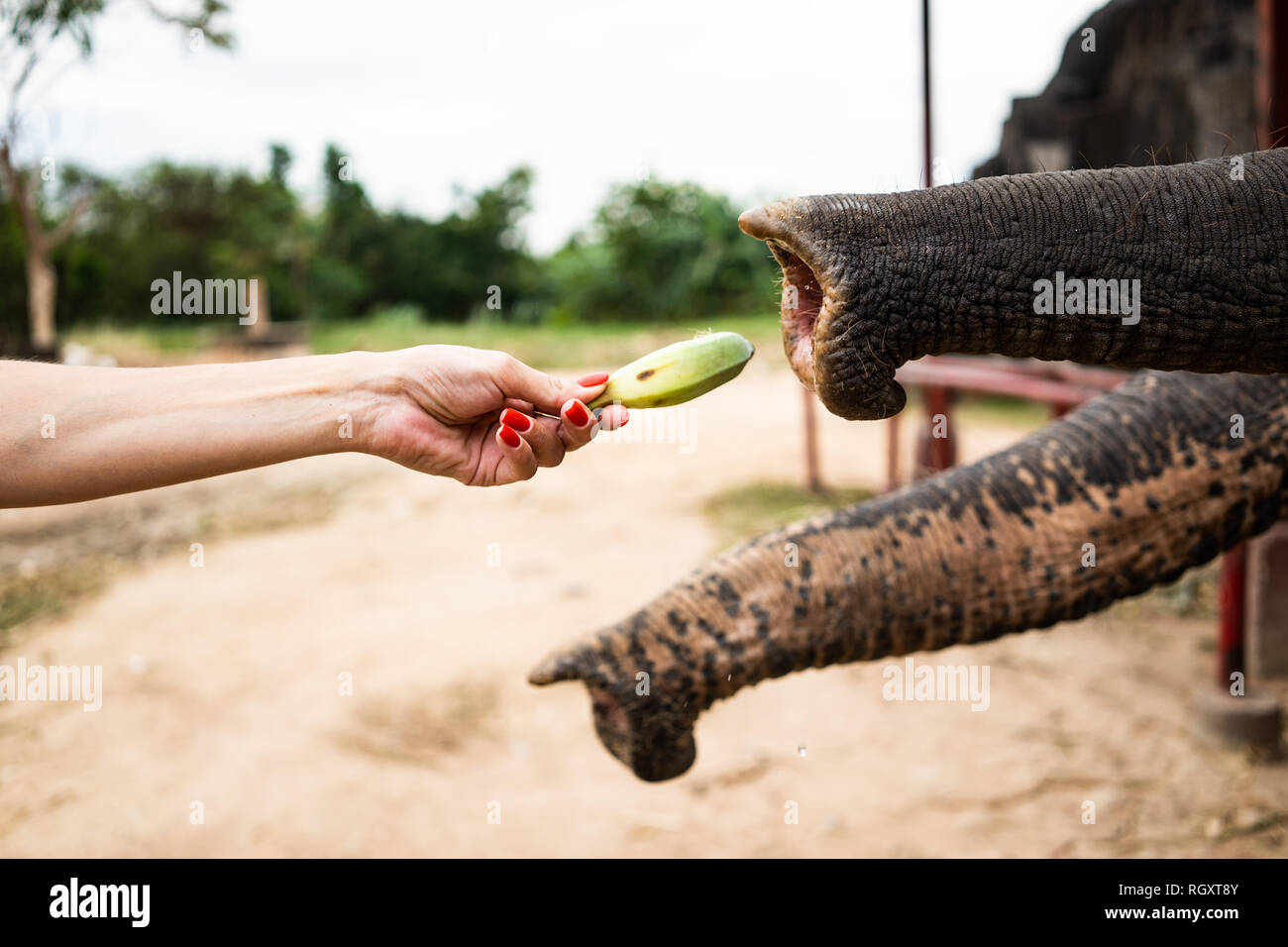 Hand with banana feeding to elephant.The hand of people are feed the banana to the elephant trunk in park of the zoo. the sharing and love. - Stock Image
