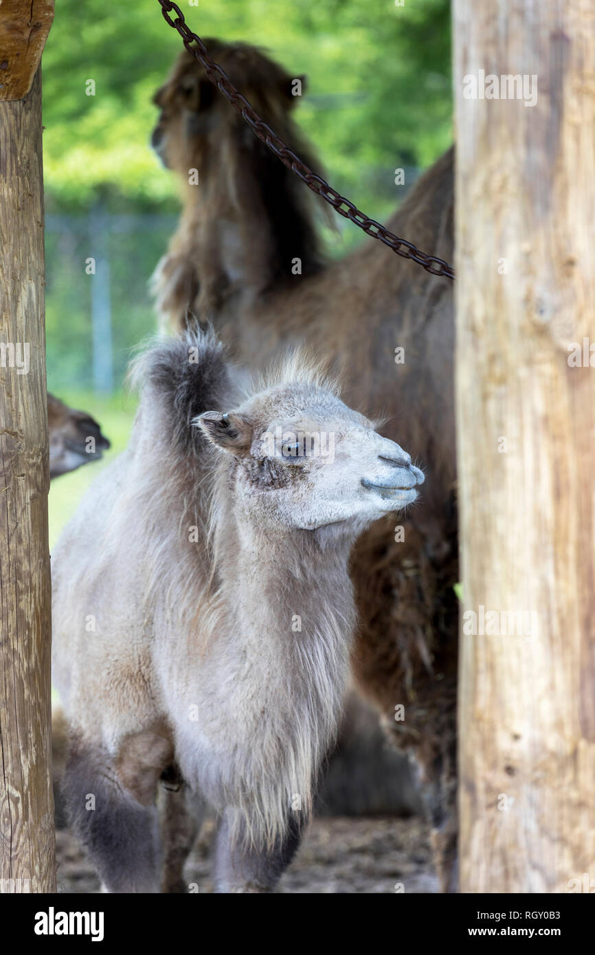 A two humped Bactrian baby-Camel, with it's mother in the background, at the Zoo - Stock Image