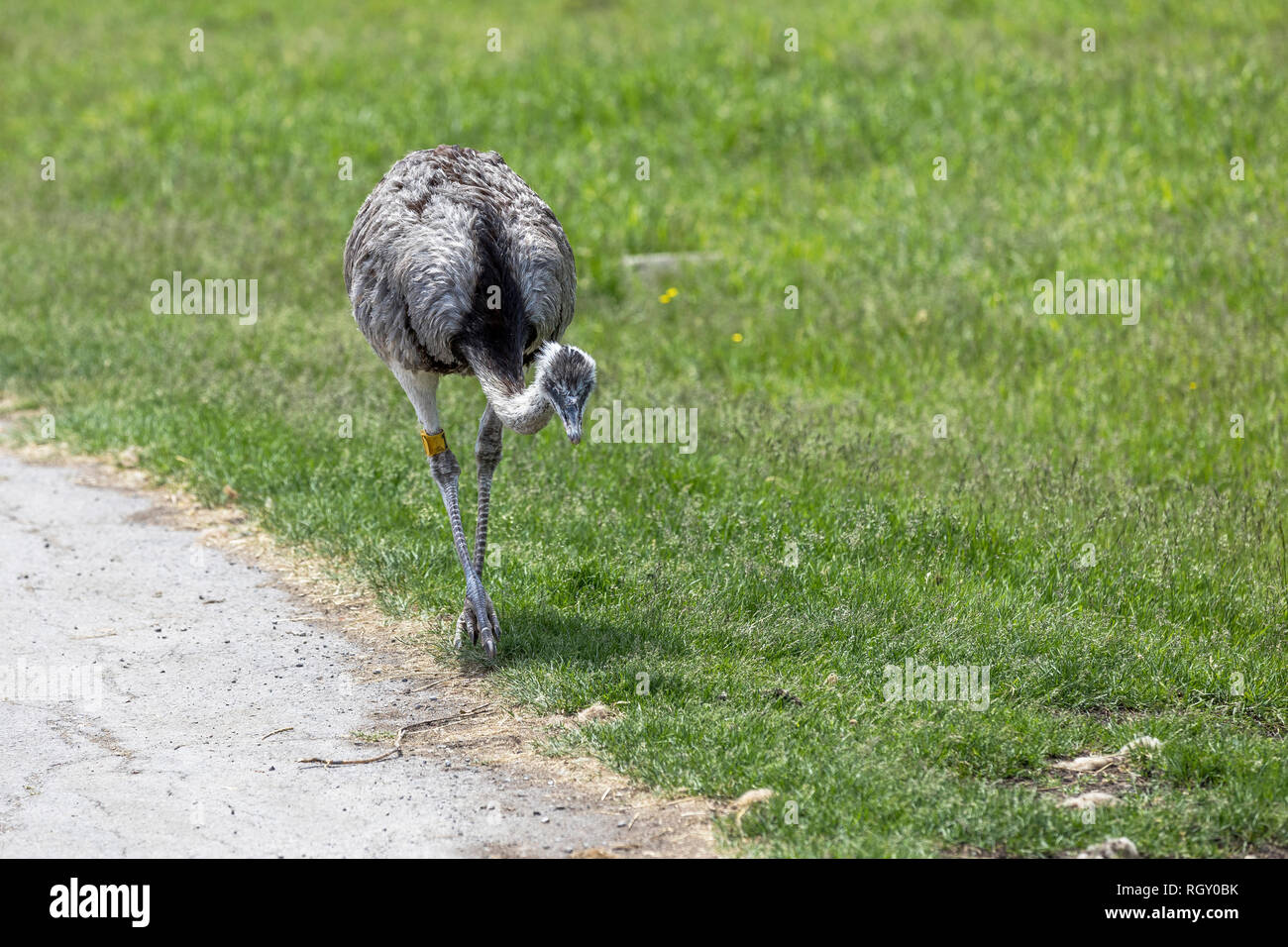 Rhea bird walking aside the road on a green background Stock Photo