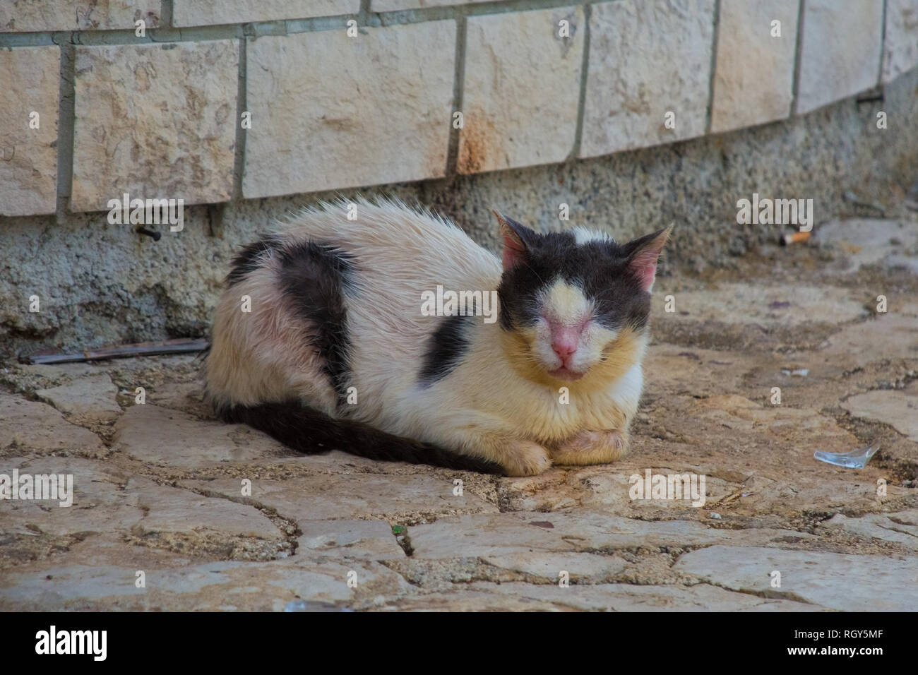 A sickly young black and white street cat in Istria, Croatia - Stock Image