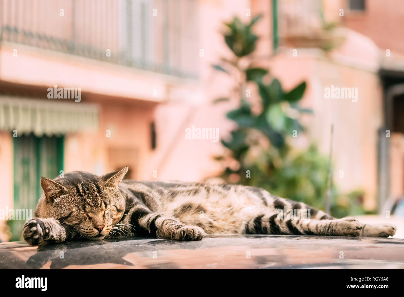 Peaceful Gray Tabby Cat Male Kitten Sleeping On Roof Of Car. - Stock Image