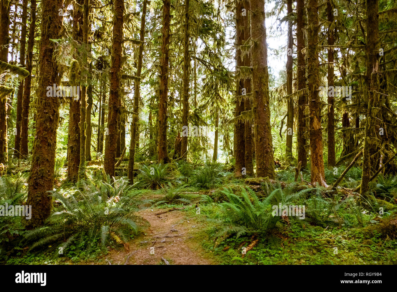Hoh forest in the olympic peninsula in washington state USA Stock Photo