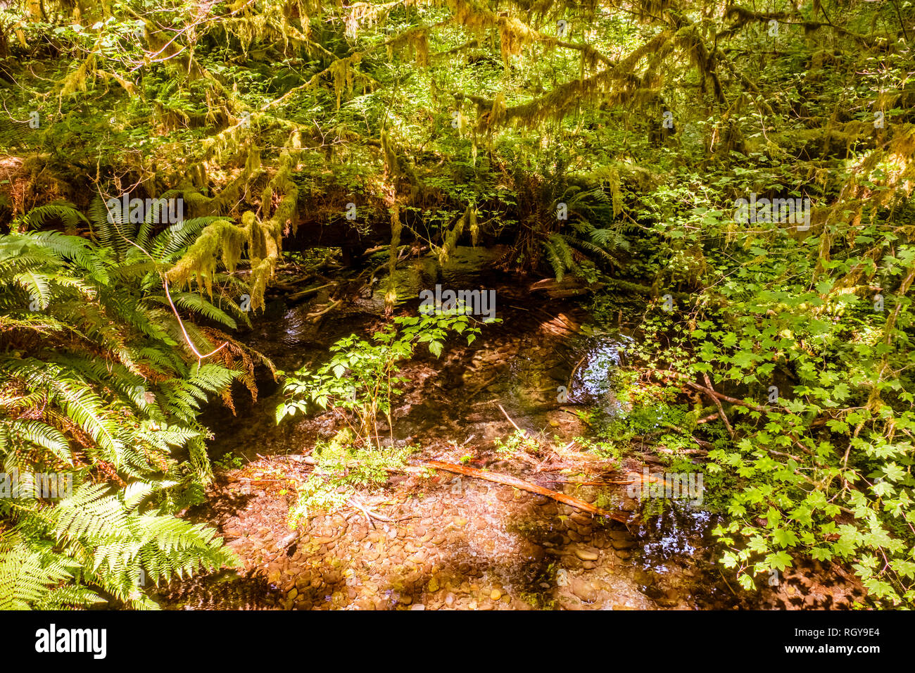 Hoh forest in the olympic peninsula in washington state USA - Stock Image