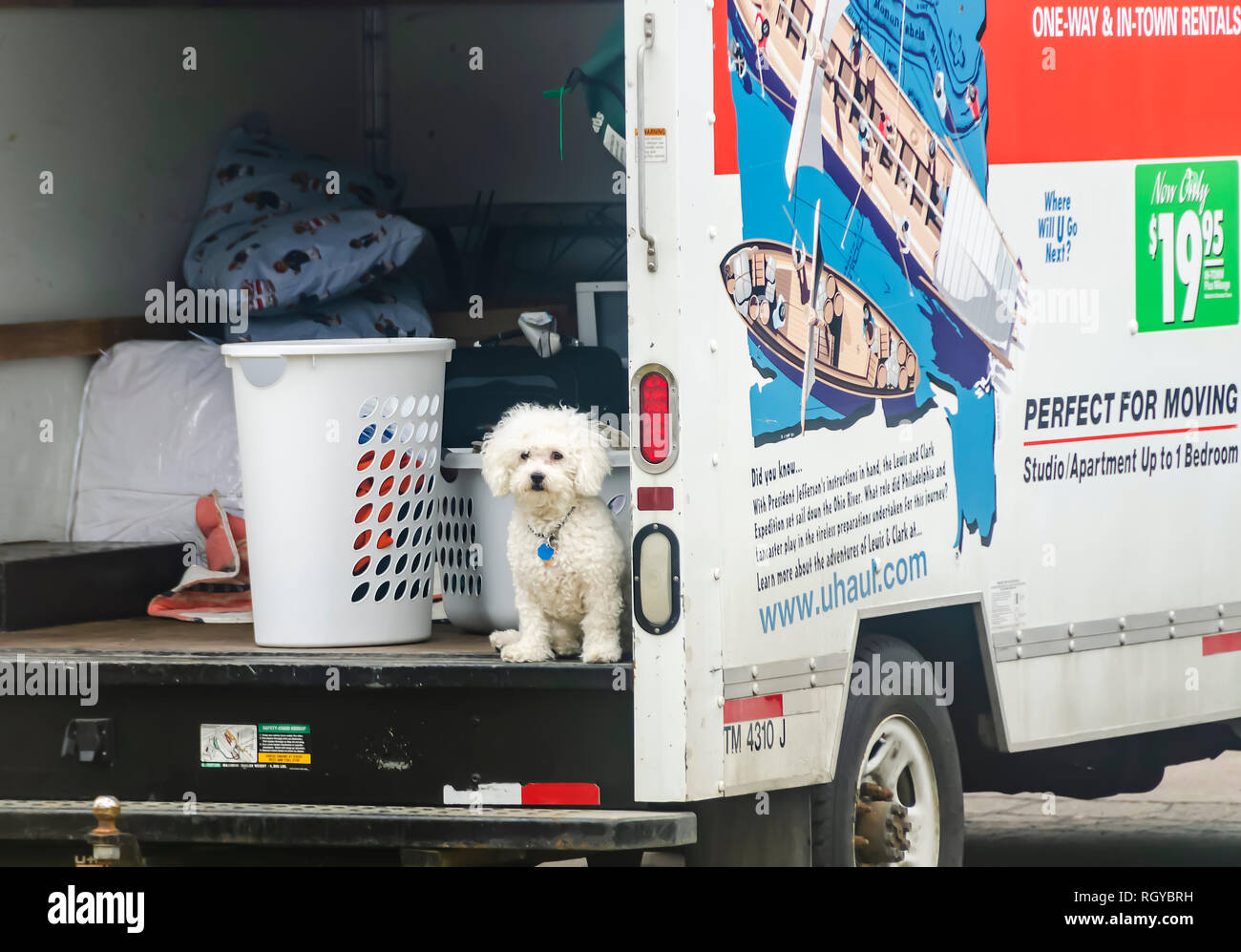 Man's best friend! A Bolognese dog waits patiently for its owner in a UHaul van parked outside of an apartment complex in Michigan, USA. - Stock Image