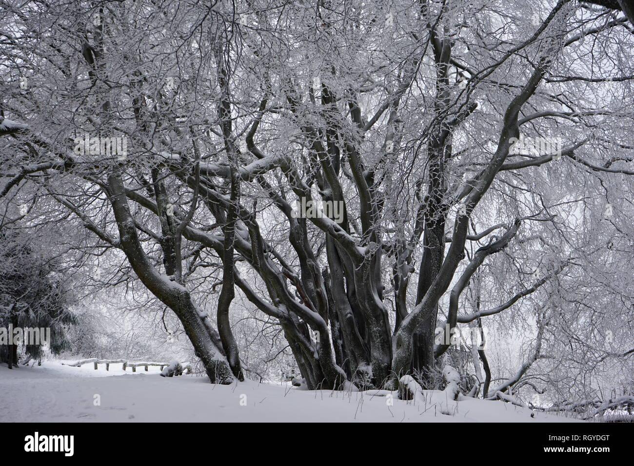 Buchengehölz am Großen Feldberg, Niederwald, Winterlandschaft, Hochtaunus, Taunus, Hessen, Deutschland Stock Photo