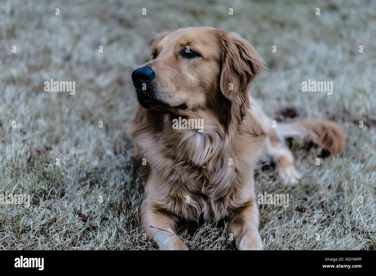 Beautiful young Golden Retriever enjoying ain the park - Stock Image