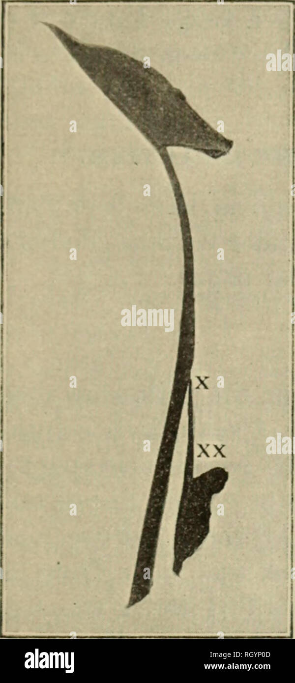 """. Bulletin. 1901-13. Agriculture; Agriculture. KKFKCT ON TJIK CALL A. EFFECT OF THE ORGANISM ON THE CALLA. 15 As ali'ciuly stilted, tlir pai't of tlir plant ii--nall attacked lii->t i> tho upper poitioii ol"""" the eoriii at oi* jii.^t l)el<» the sii