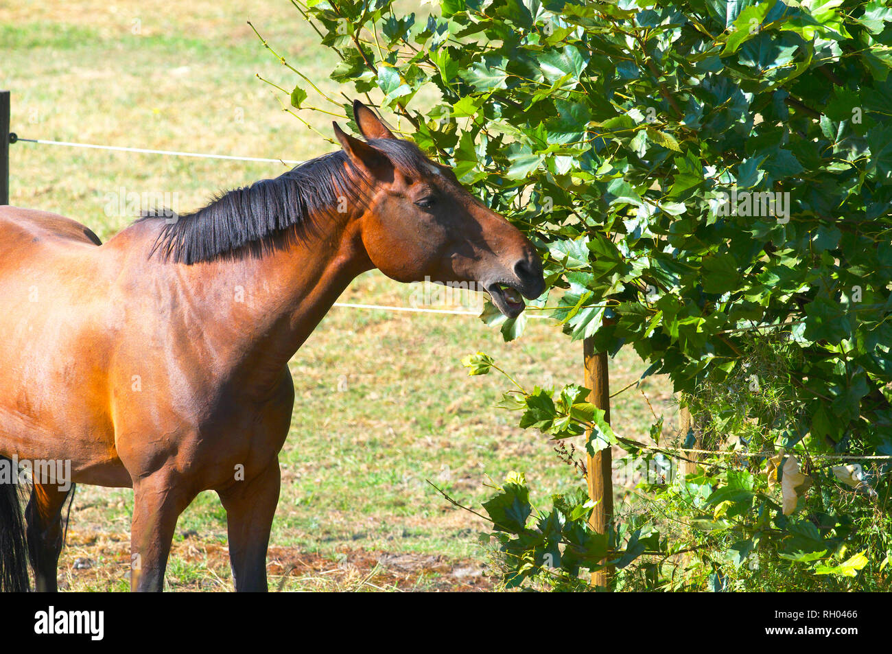 A Bay horse (Equus ferus caballus) with a dark, cropped mane eating leaves from a bush. - Stock Image