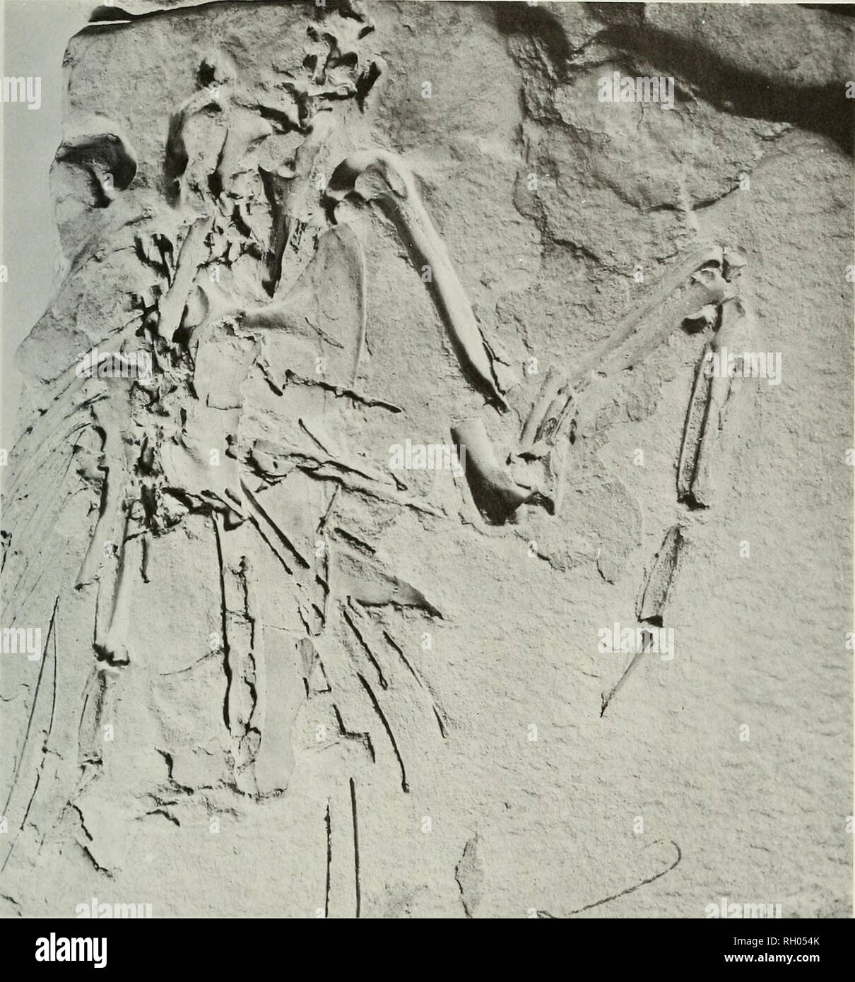 . Bulletin. Science; Natural history; Natural history. NEW SPECIES OF LATE MIOCENE MURRE. Fig. 2. Uria brodkorbi, holotype slab PB7960B showing impression on left side. Depending on the angle viewed, the skeletal elements appear raised or impressed. Length of complete carpo- metacarpus 47.5 mm. Coracoid: Length from foremost (anterior) edge of coracohumeral surface to external tip of sternal facet 42.5; depth of shaft to tip of procoracoid 11.5; breadth of glenoid facet 6.5; length of glenoid facet 8.0; distance from procoracoid to foramen 6.6. Humerus: Greatest length 90 approx.; breadth of p - Stock Image