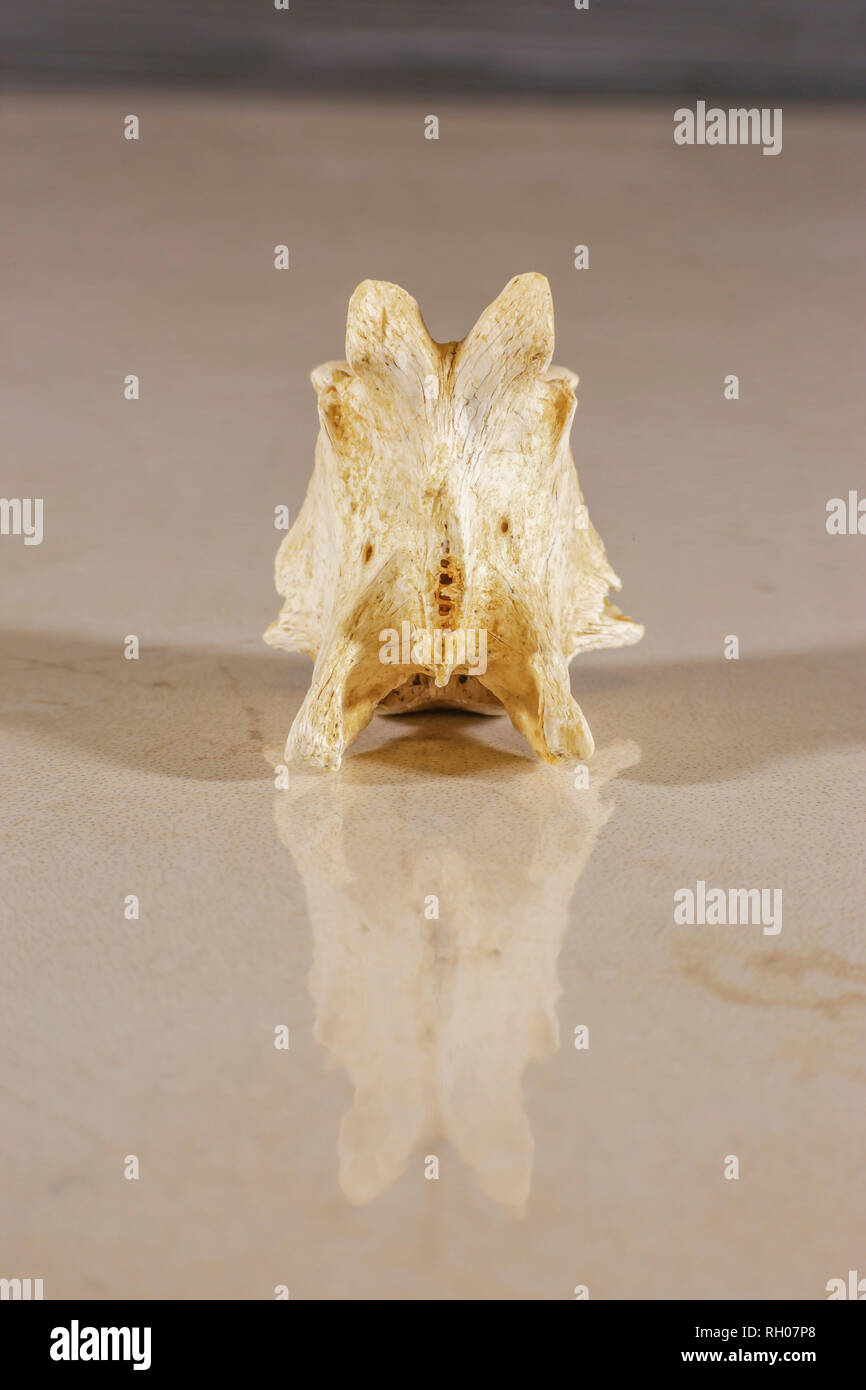 Anatomy of vertebrae that forms the spinal column - Stock Image