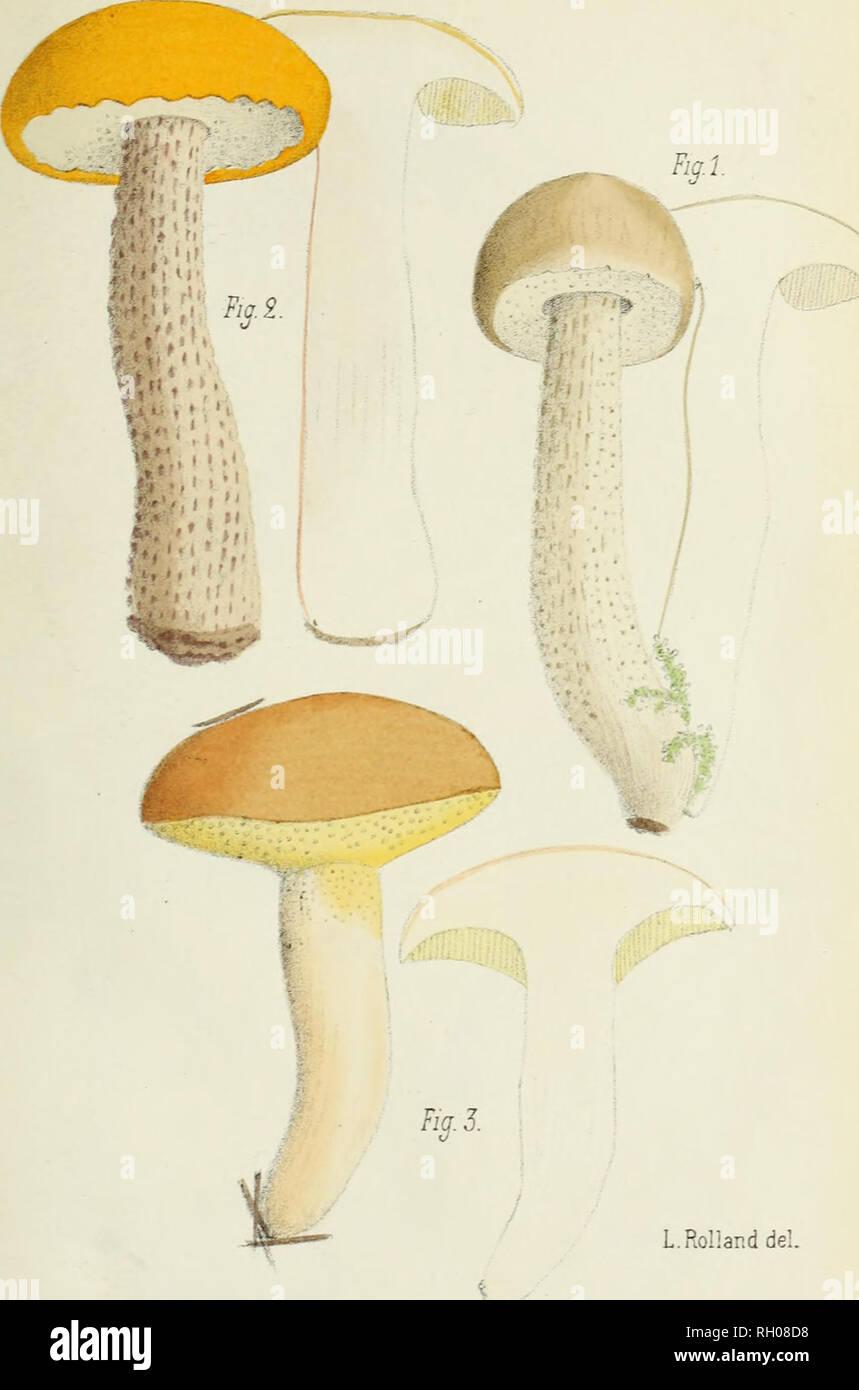 3c355c1343 DE LA SOC MYG. DE FRANCE T. VIII. - PL. IY..  . BOLET RUDE. — II. BOLET  ORANGÉ III. BOLET GRANULÉ. Please note that these images ...