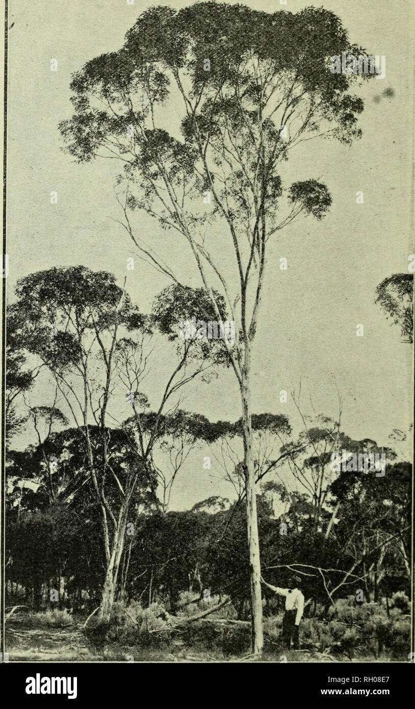 ". Bulletin. Forests and forestry. S26 Forests and Forest Products f. Goldfields Whitegum. Goldfields White Gum (Eucalyptus Fhcktonice).—A tree r sembling the "" Wandoo "" of the Darling Range, but smaller, more slendei and a much whiter bark. This tree grows in low lying places in fores of Salmon Gum.. Please note that these images are extracted from scanned page images that may have been digitally enhanced for readability - coloration and appearance of these illustrations may not perfectly resemble the original work.. Western Australia. Forests Dept. Perth : Forests Dept. , Western Au - Stock Image"