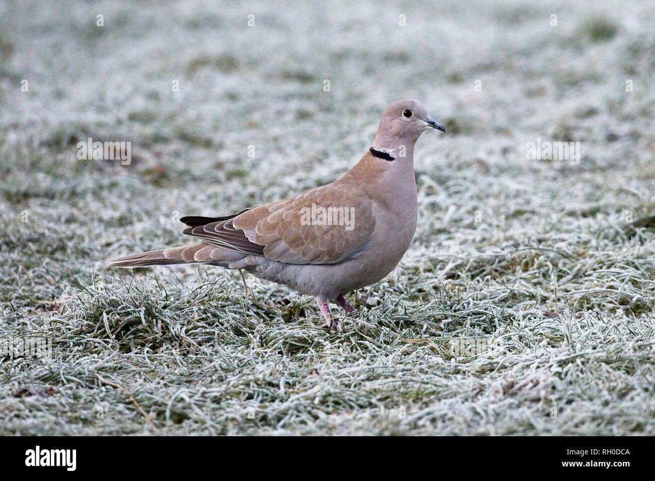 Hailsham, UK. 31st Jan, 2019. UK weather.A Collared dove (Streptopelia decaocto) struggles to find food this morning after a hard overnight frost in Hailsham, East Sussex, UK. Credit: Ed Brown/Alamy Live News - Stock Image
