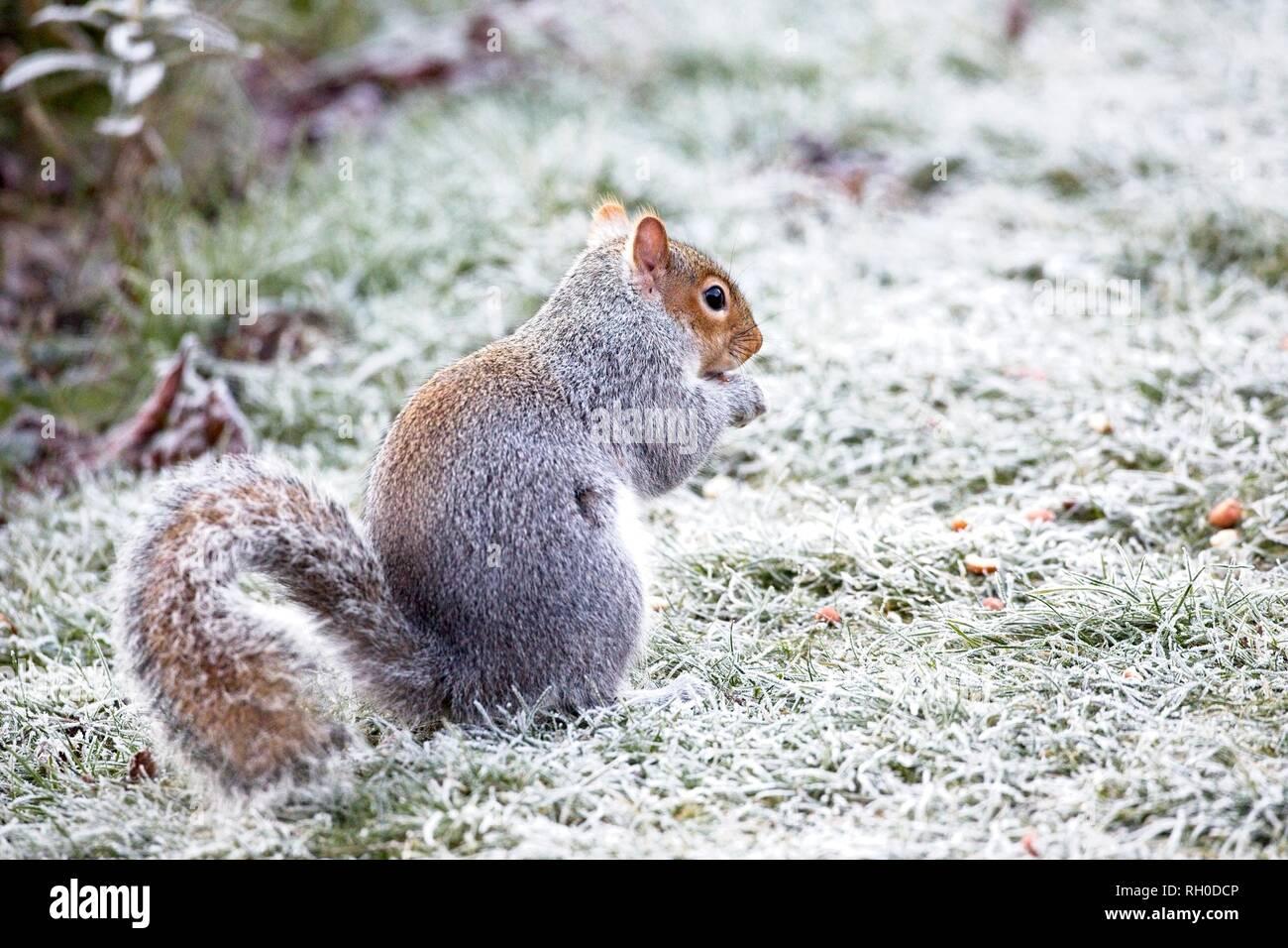 Hailsham, UK. 31st Jan, 2019. UK weather.A Grey squirrel (Sciurus carolinensis) struggles to find food this morning after a hard overnight frost in Hailsham, East Sussex, UK. Credit: Ed Brown/Alamy Live News - Stock Image