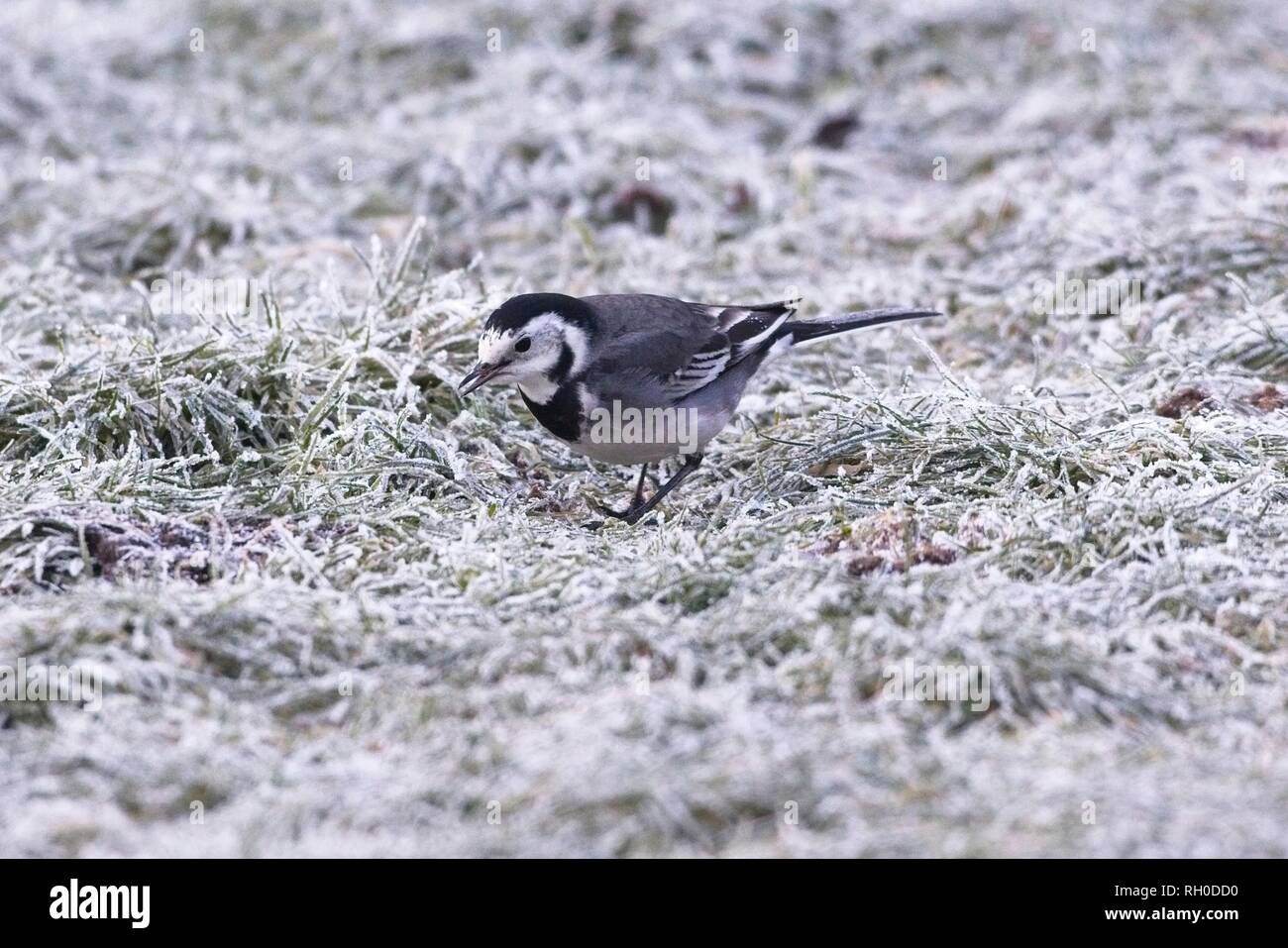Hailsham, UK. 31st Jan, 2019. UK weather.A Pied wagtail (Motacilla alba) struggles to find food this morning after a hard overnight frost in Hailsham, East Sussex, UK. Credit: Ed Brown/Alamy Live News - Stock Image