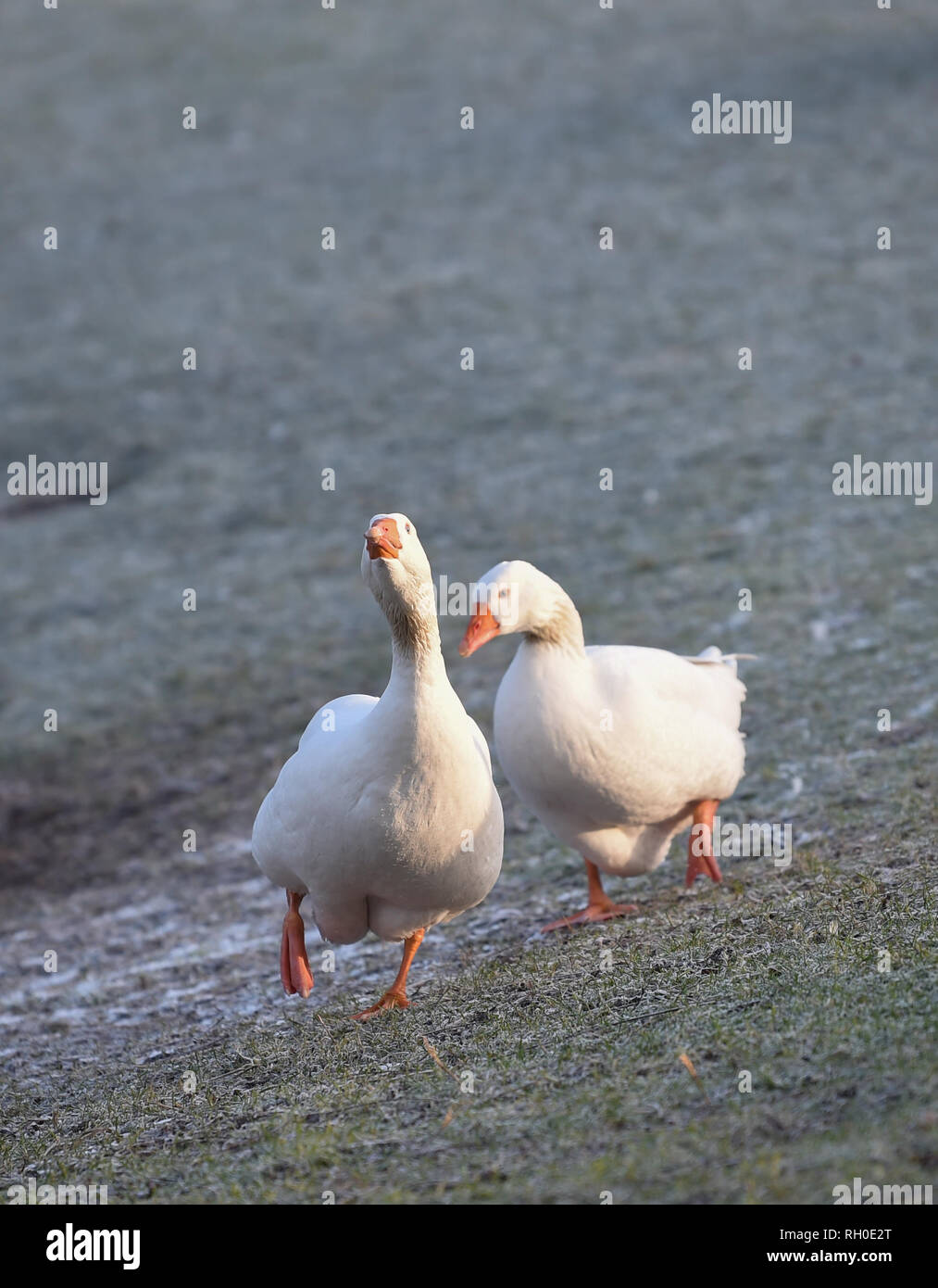 Brighton, UK. 31st Jan, 2019. UK Weather: Geese hunt for food in Queens Park Brighton on a frosty and icy morning after the coldest evening in Britain with extra low temperatures recorded around the country . Heavy snow and freezing weather are forecast for rush hour in the south east later today Credit: Simon Dack/Alamy Live News - Stock Image