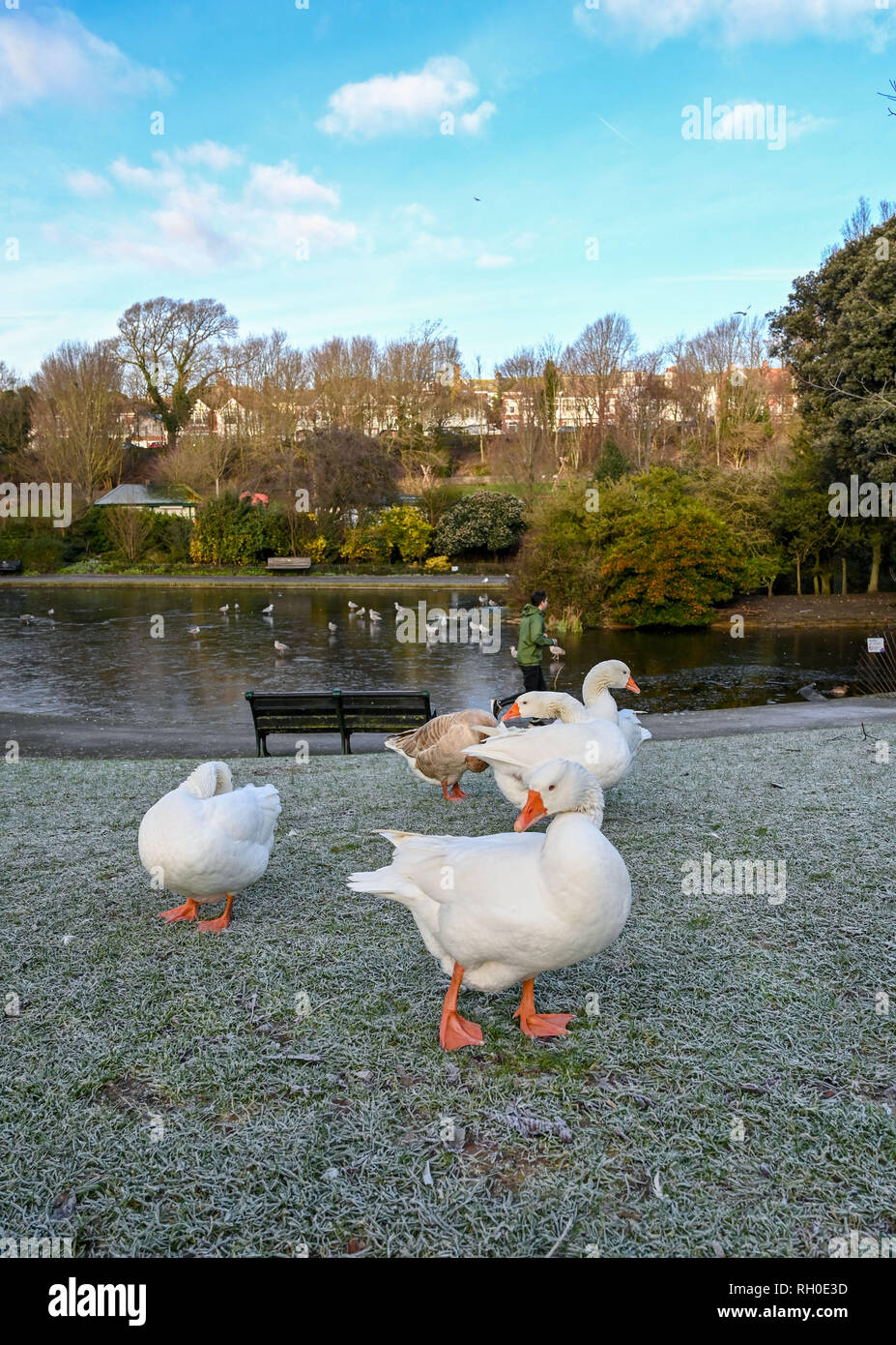 Brighton, UK. 31st Jan, 2019. UK Weather:Geese hunt for food in Queens Park Brighton on a frosty and icy morning after the coldest evening in Britain with extra low temperatures recorded around the country . Heavy snow and freezing weather are forecast for rush hour in the south east later today Credit: Simon Dack/Alamy Live News - Stock Image