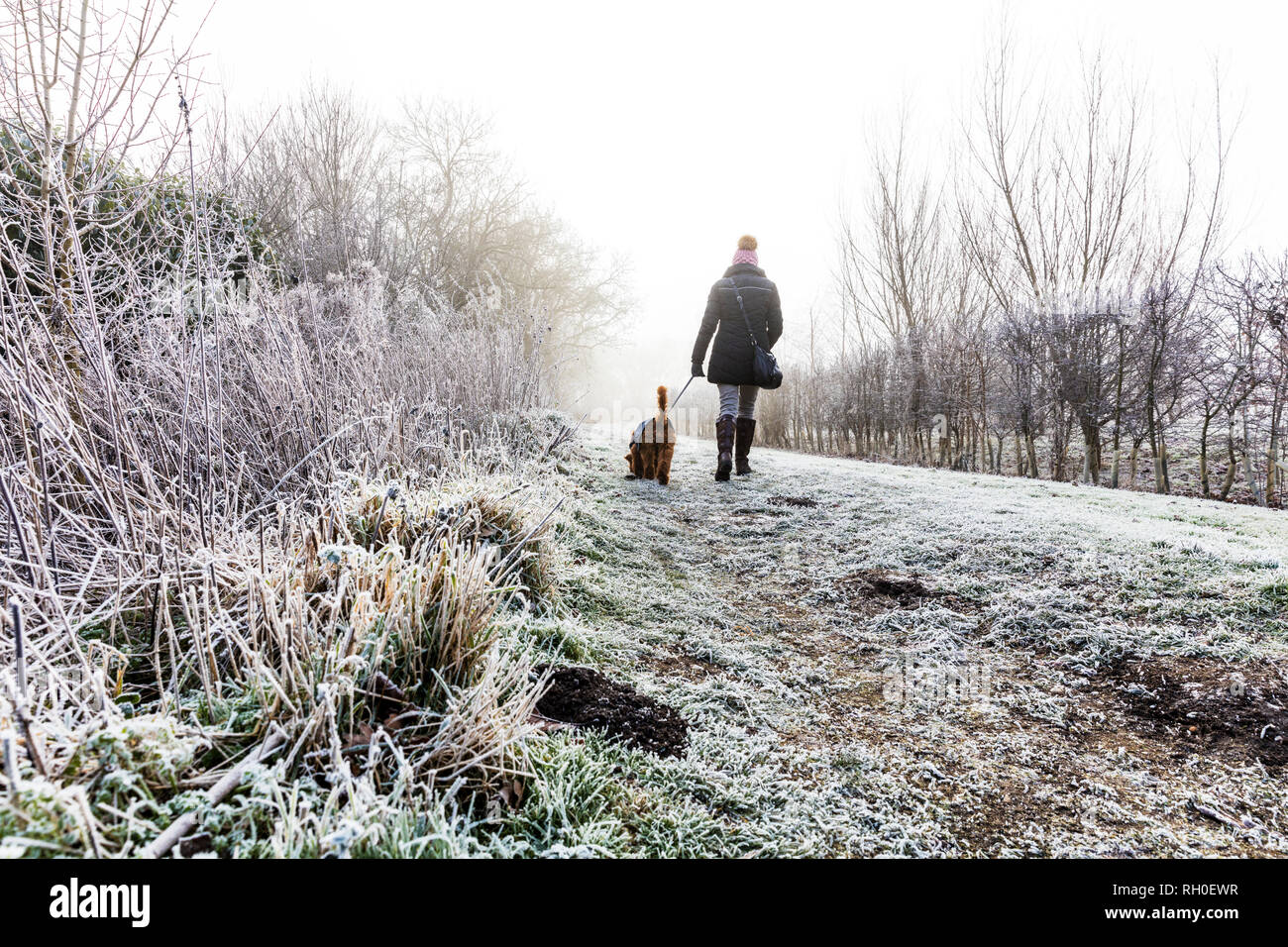 Legbourne Woods, Lincolnshire. 31st Jan 2019. UK Weather: A Frosty, icy morning greets early dog walkers in Lincolnshire, ice, frost, mist, misty Winters morning, Dexter the Cockerpoo, cockapoo enjoying the weather Stock Photo