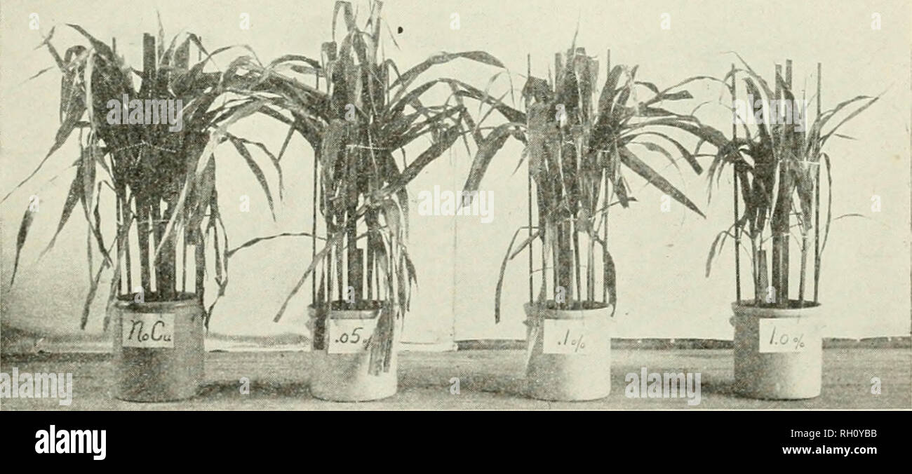 . Bulletin. Agriculture; Agriculture -- Arizona. Cultural Experiments 18'5 TABLE XXI Chrysocolla Series (1908) Sample grams No. Appear- Cu ance and in soil, height per cent of plants Dry matter, grams Cu found. Culture Cu p.p.m . in r roots tops Normal 4003 Corn Check* 32 in. 25.60 .00025 10.00 4003c Corn Clieek* 6.46 .00012 19.00 4004 Corn .05 33 23.50 .00026 11.00 4004c Corn .05 6.70 .00062 93.00 Toxic effects begin at about .08% Cu in soil. Dwarfed 4005 Corn .10 30 in. 17.90 .00024 13.00 4005c Corn .10 striped 5.82 ' .00094 162.00 4006 Corn .10 28 in. 10.50 .00017 16.00 4006c Corn 1.00 yell - Stock Image