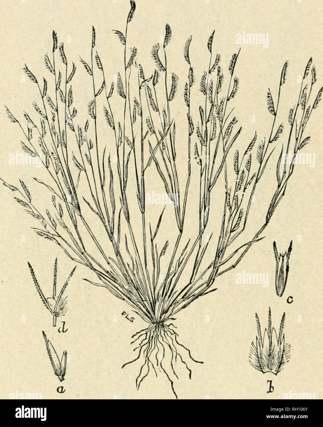 . Bulletin. Gramineae -- United States; Forage plants -- United States. 204. Fig. 500. Bouteloua polystachya (]5entli.) Torr. in Pjicif. Rail. Rep. 5 : 3(16, t. 10. 1857. {Chvudrosimti itohji^taLhyum Benth. Bot. A^oy. Sulpli. 56. 1844.) Six-weeks Grama.—A Kleiidcr and diffusely fsprcading, miioh-brancbed animal, 1 to 4 dm. high, Avitii short, narroiv leaves and 3 to 6 linear spikes about 2 cm. Ion-;, approximate near the apex of the culm or its branches. Spikelets with glabrous, uueqnal empty glumes (a), the larger second one 1.5 mm. long, and 4-lobed ilowcring glumes (//), which are awned bet Stock Photo