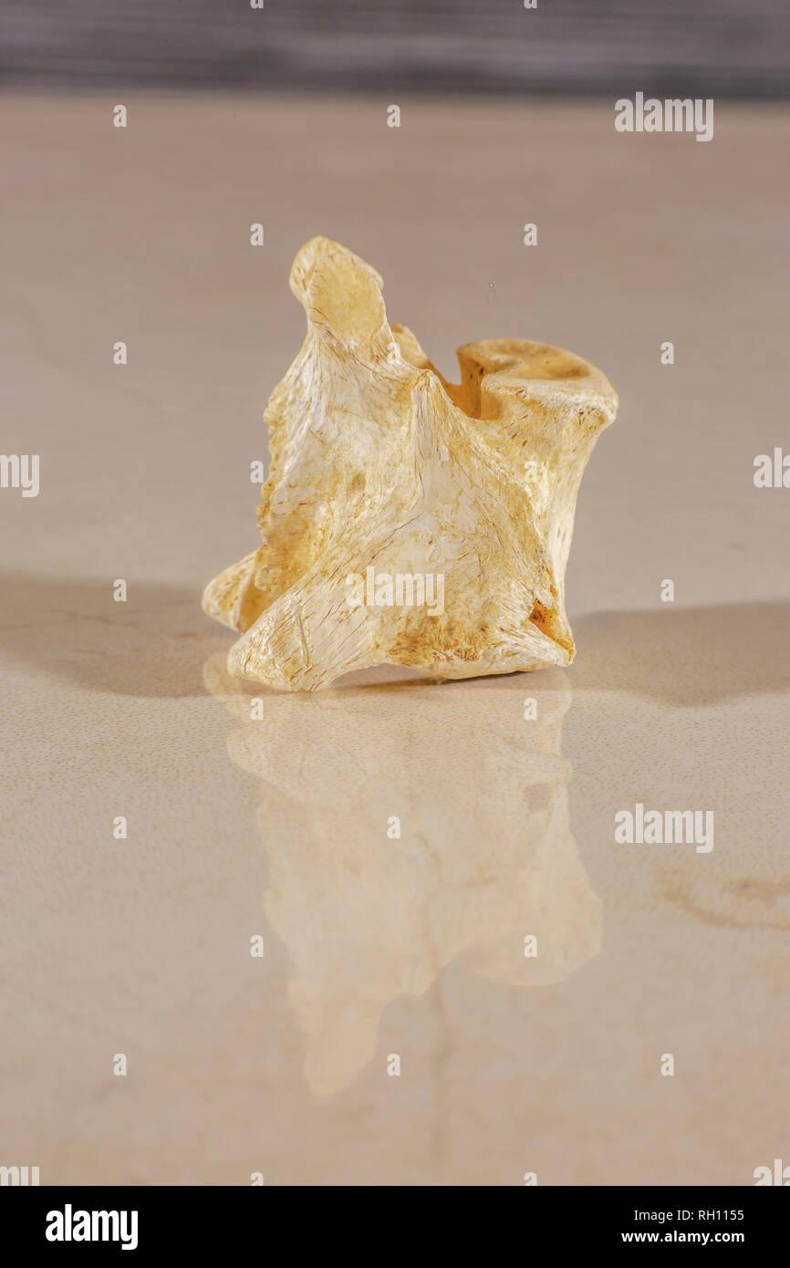 Detail view of a human spine vertebral bone - Stock Image