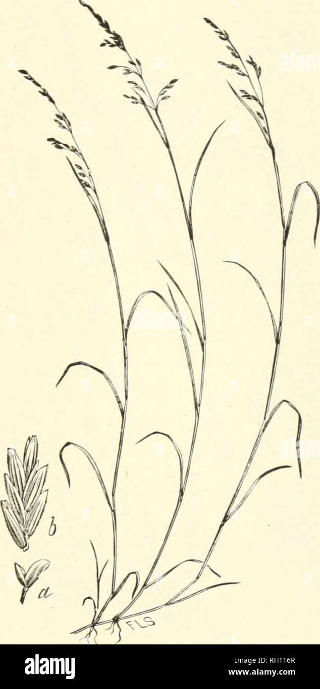 . Bulletin. Gramineae -- United States; Forage plants -- United States. 301. Fig. 283. Panicularia pallida (Torr.) Kuiitze (Glyce) iapallida Trin. U'hidsoria pallida. Torr.). Pale Manxa-grass.—A per- ennial, with slender stems 3 to 9 dm. long, ascending from a more or loss decumbent base, and a lax, few-flowered panicle with ascending branches.—Bogs, banks of streams and ponds. Cape Breton to Ontario, south to Virginia, eastern Tennessee and Indiana. ,J nne-Aujiust.. Please note that these images are extracted from scanned page images that may have been digitally enhanced for readability - col - Stock Image