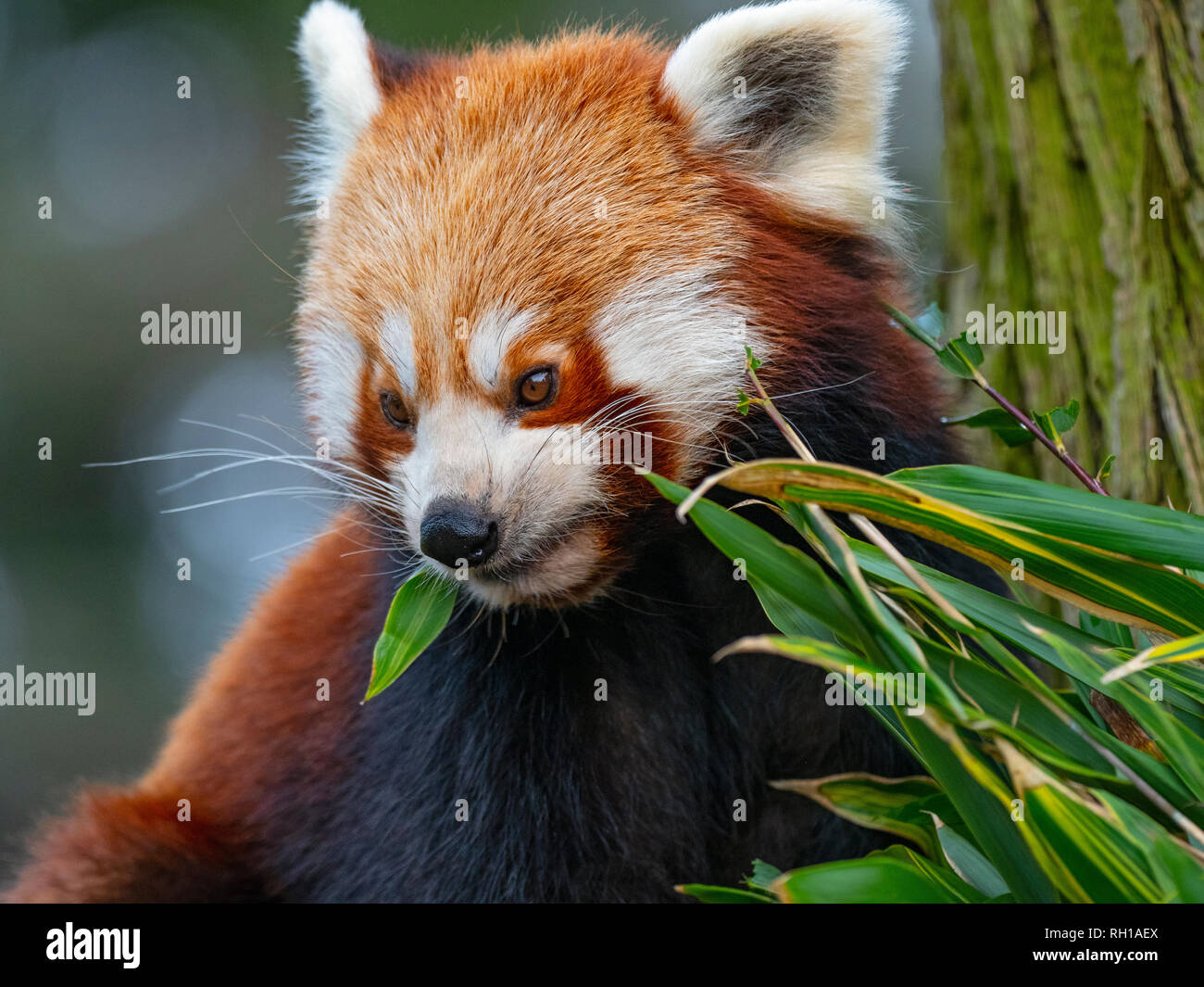 Red panda Ailurus fulgens  feeding on bamboo leaves captive portrait - Stock Image
