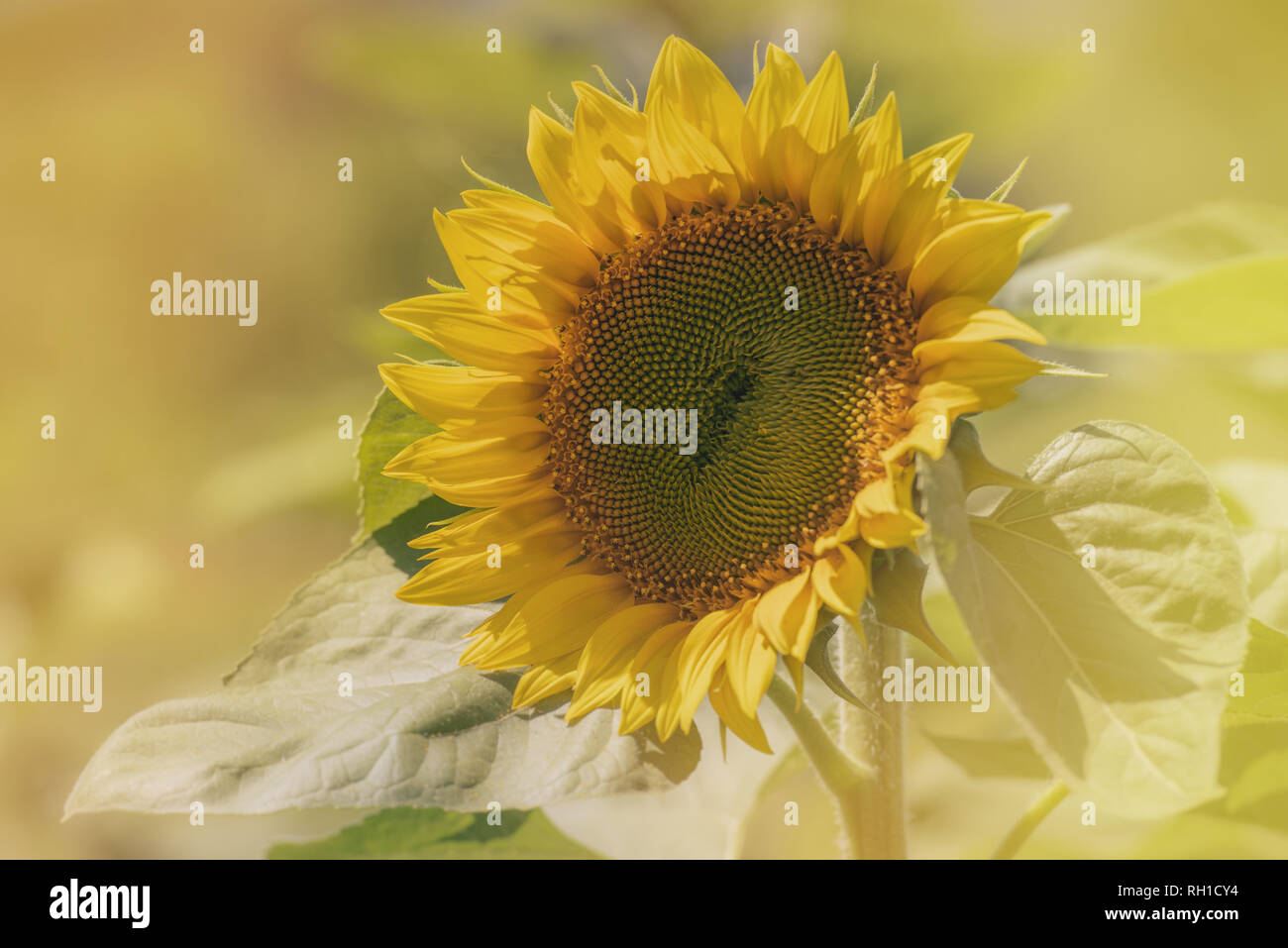 plant of sunflower on blooming with blurred background with copy space - Stock Image