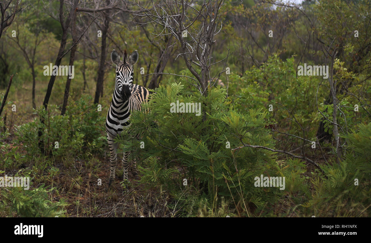 A single zebra looking at the camera from behind a bush in Kruger National Park, South Africa. - Stock Image