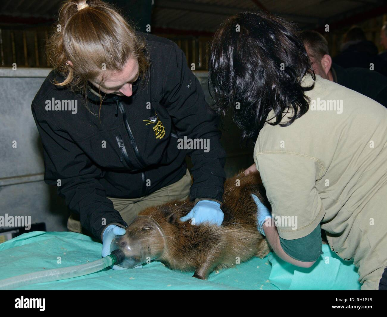 Eurasian beaver (Castor fiber) caught on the River Otter being anaesthetised by a vet ahead of health checks and re-release, Devon, UK, March 2015. - Stock Image