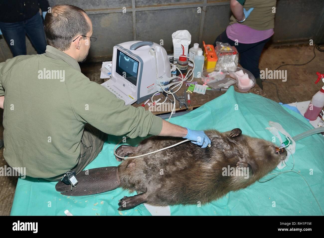 Veterinarian using an ultrasound scanner to look for developing foetuses in an anaesthetised female Eurasian Beaver (Castor fiber) caught in Devon, UK - Stock Image
