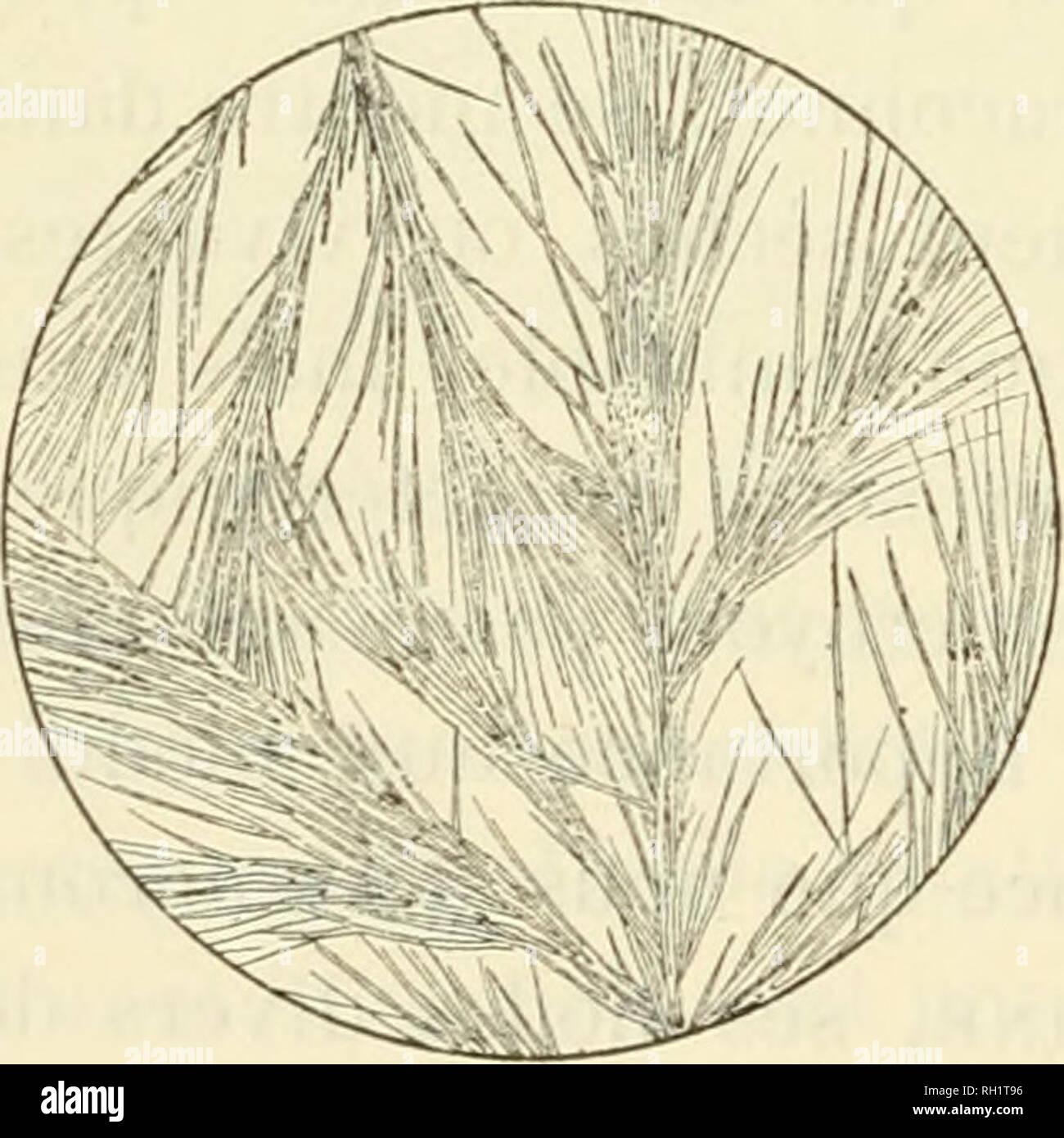 """. Bulletin. Socit d'histoire naturelle d'Autun (France); Natural history; Natural history -- France. 282 A.-T. DE ROCHEBRUNE Renoncules, nous avons traité avec un succès complet tout ou partie des plantes, par les méthodes préconisées par Du- quesne et le D"""""""" Laborde, dans la recherche des alcaloïdes de l'Aconit; ayant donné ces méthodes à l'article concernant cette dernière plante, nous jugeons inutile de les reproduire à nouveau. L'étude du Rammculus aquatilis a été faite sur des échan- tillons frais et des échantillons secs ; la plante écrasée ou réduite en poudre - Stock Image"""