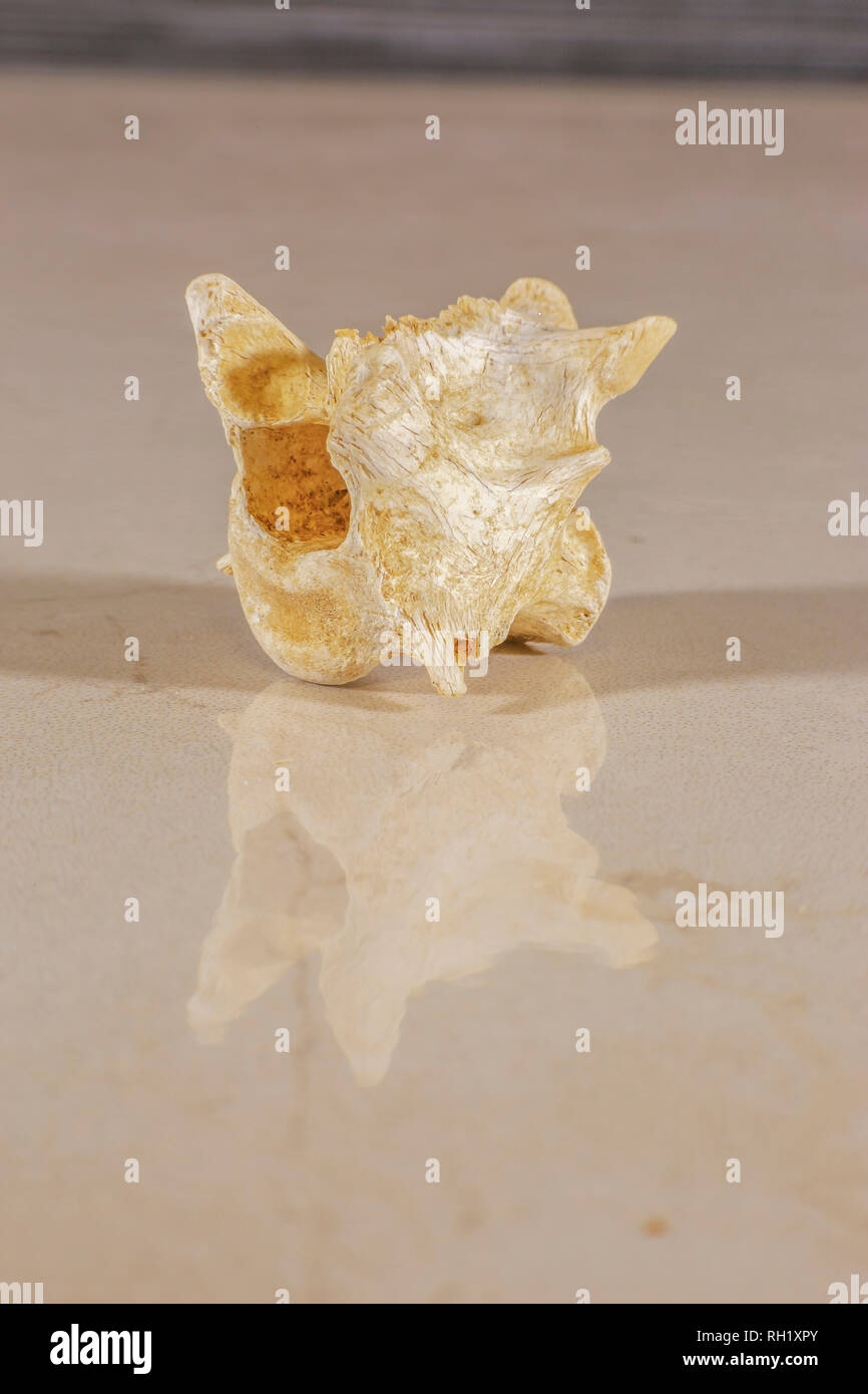 Human vertebrae that forms the spinal column - Stock Image